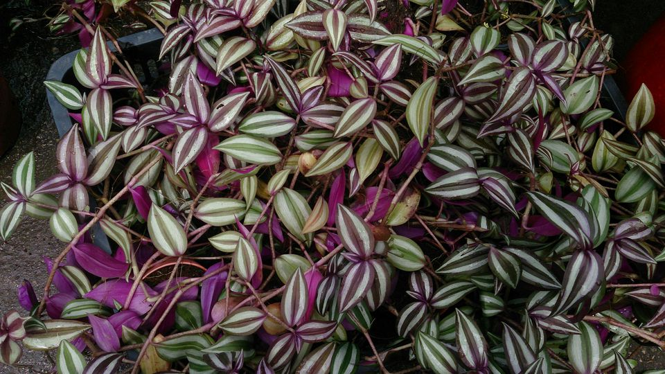 Tradescantia zebrina up-close