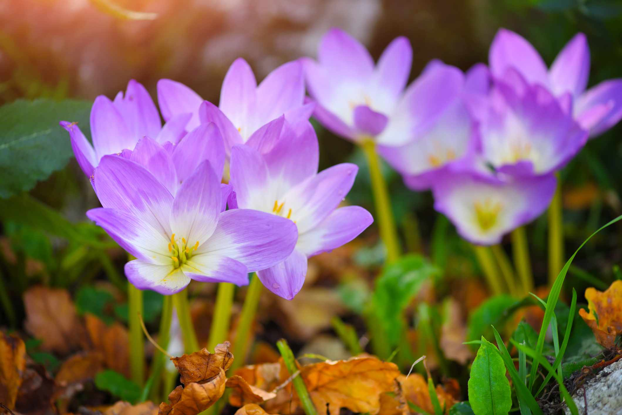 Nice dewy flowers in the autumn (Colchicum autumnale)