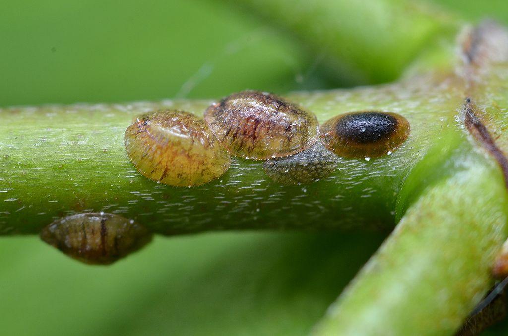 Insectos escamosos (Coccoidea ) en el tallo de Cornus sanguinea