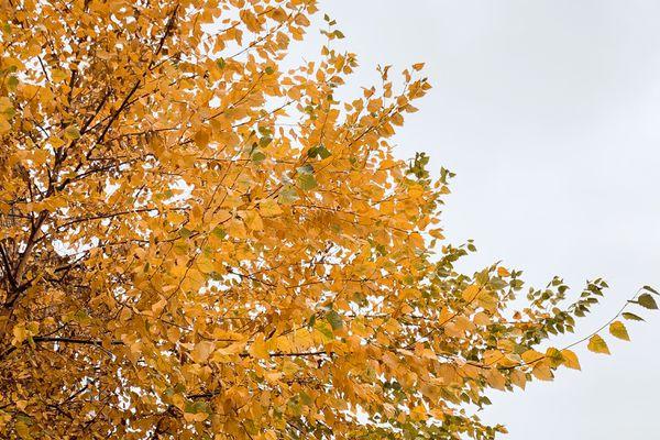 tree with yellow foliage