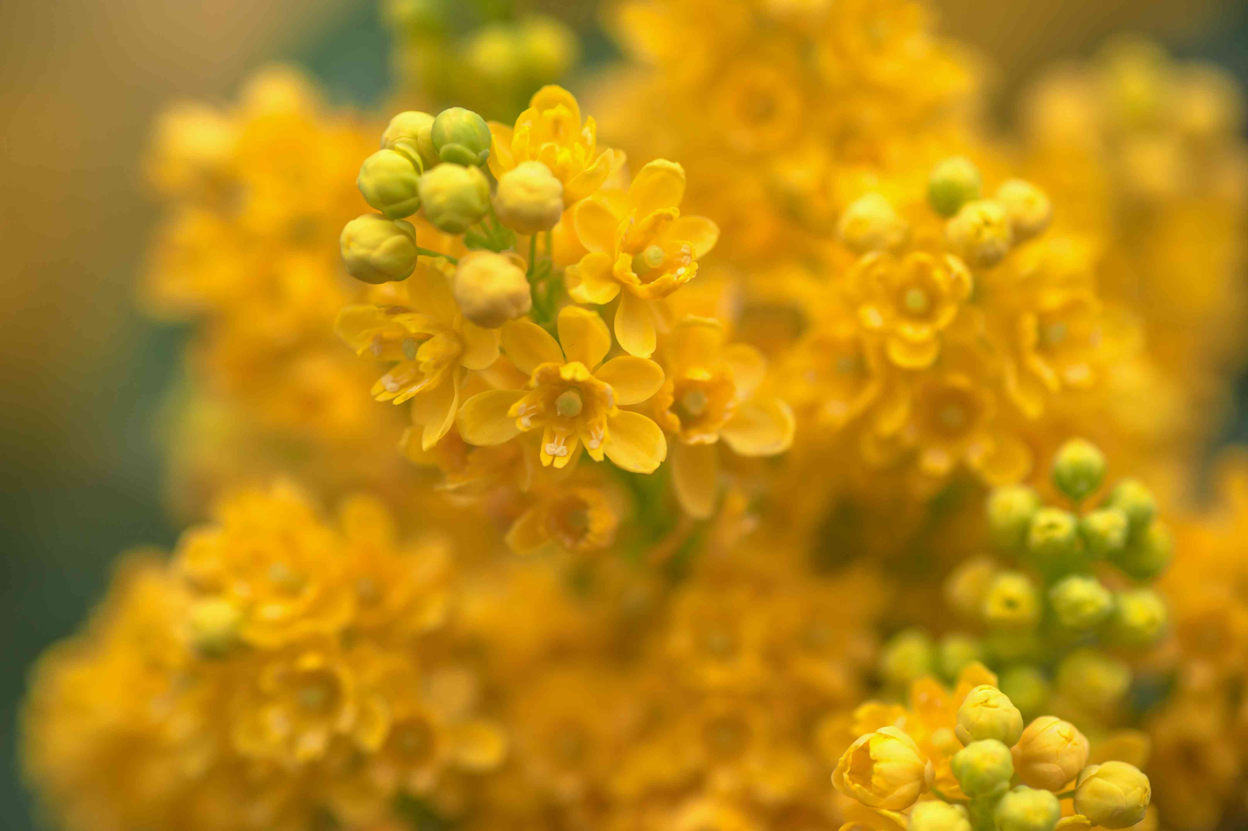 Oregon grape with yellow flowers and buds closeup