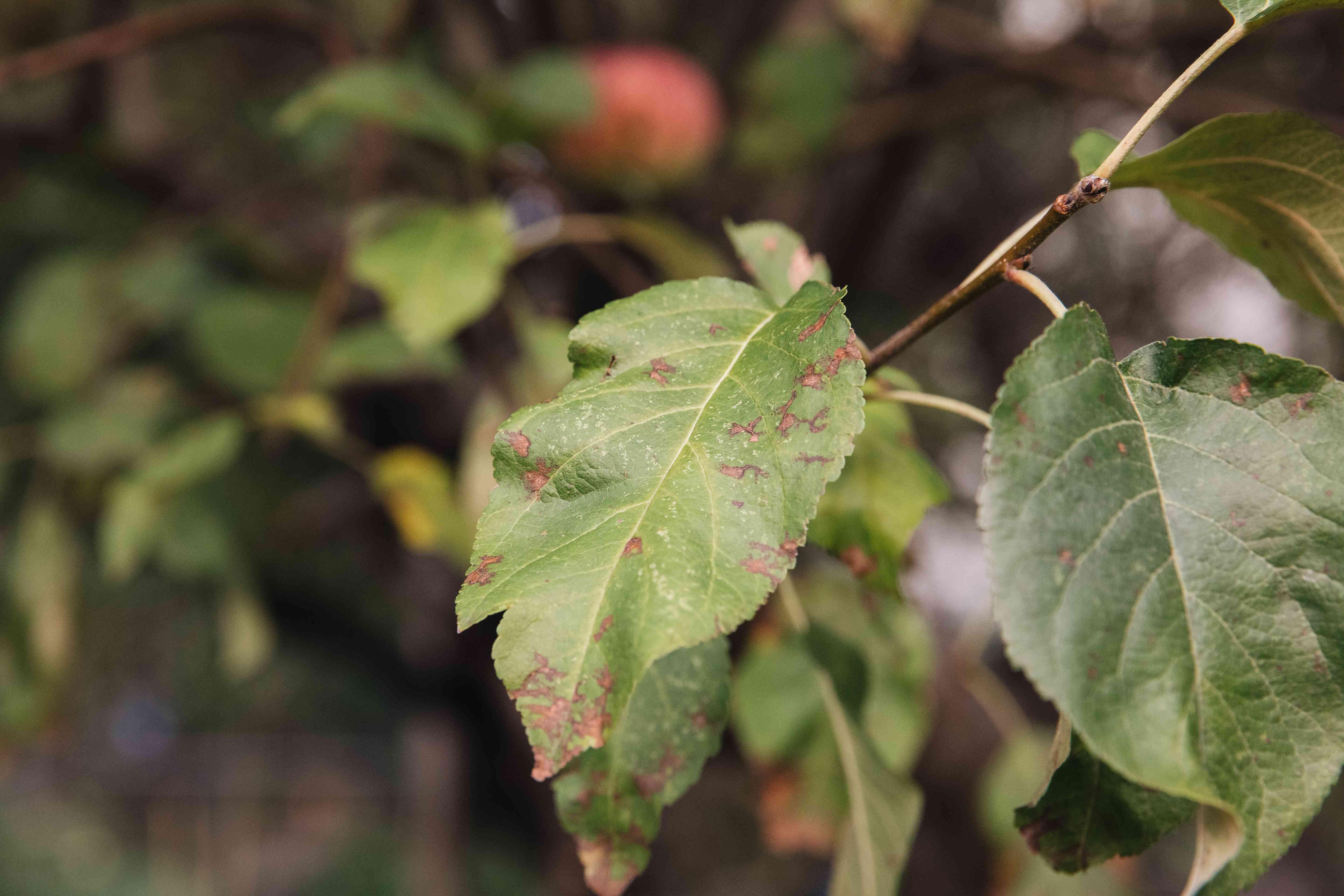 rust on apple tree leaves