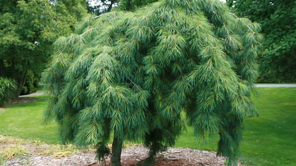 How To Care For Weeping White Pine Pinus Strobus Pendula