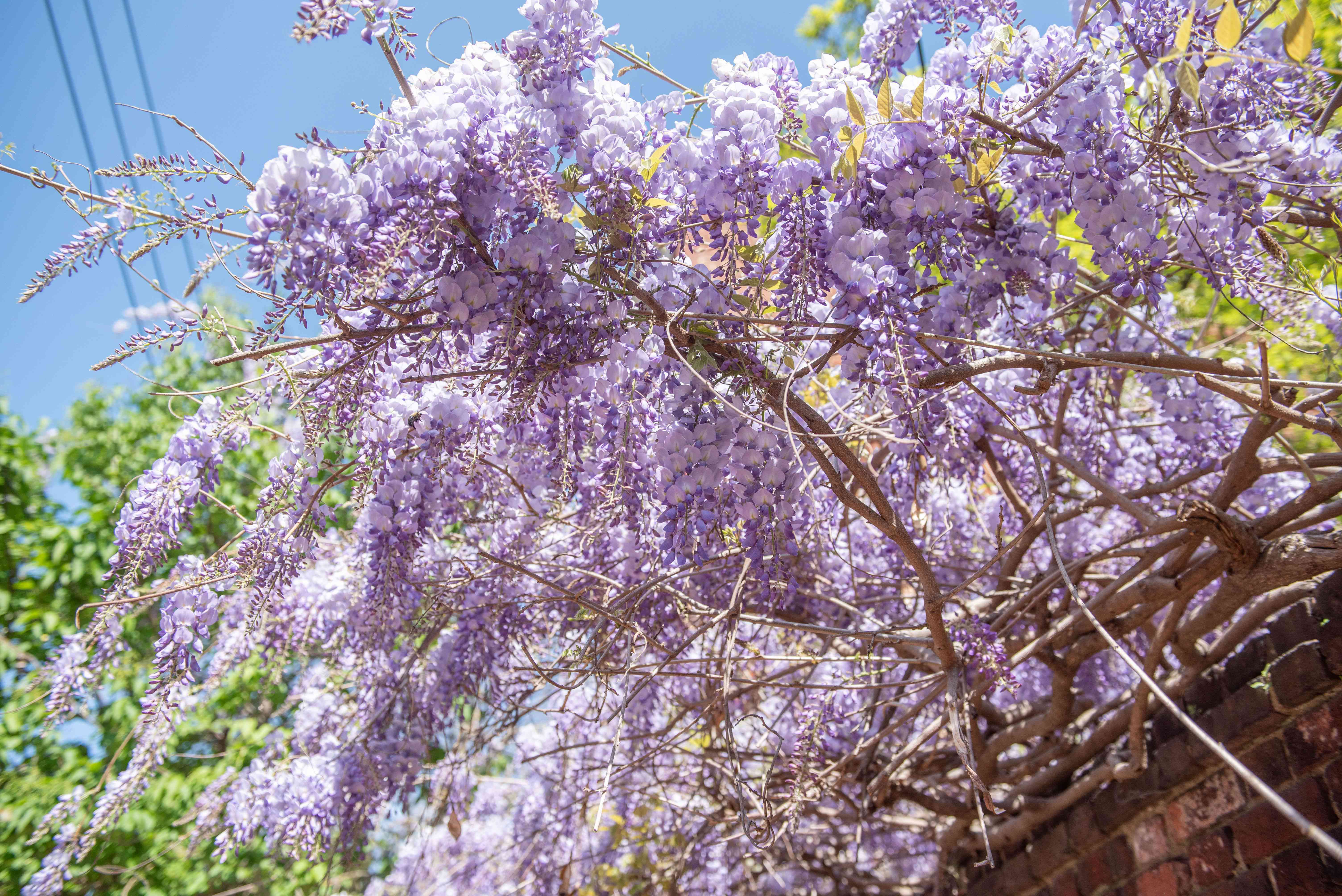 Chinese wisteria twisted vines with large drooping purple flower clusters