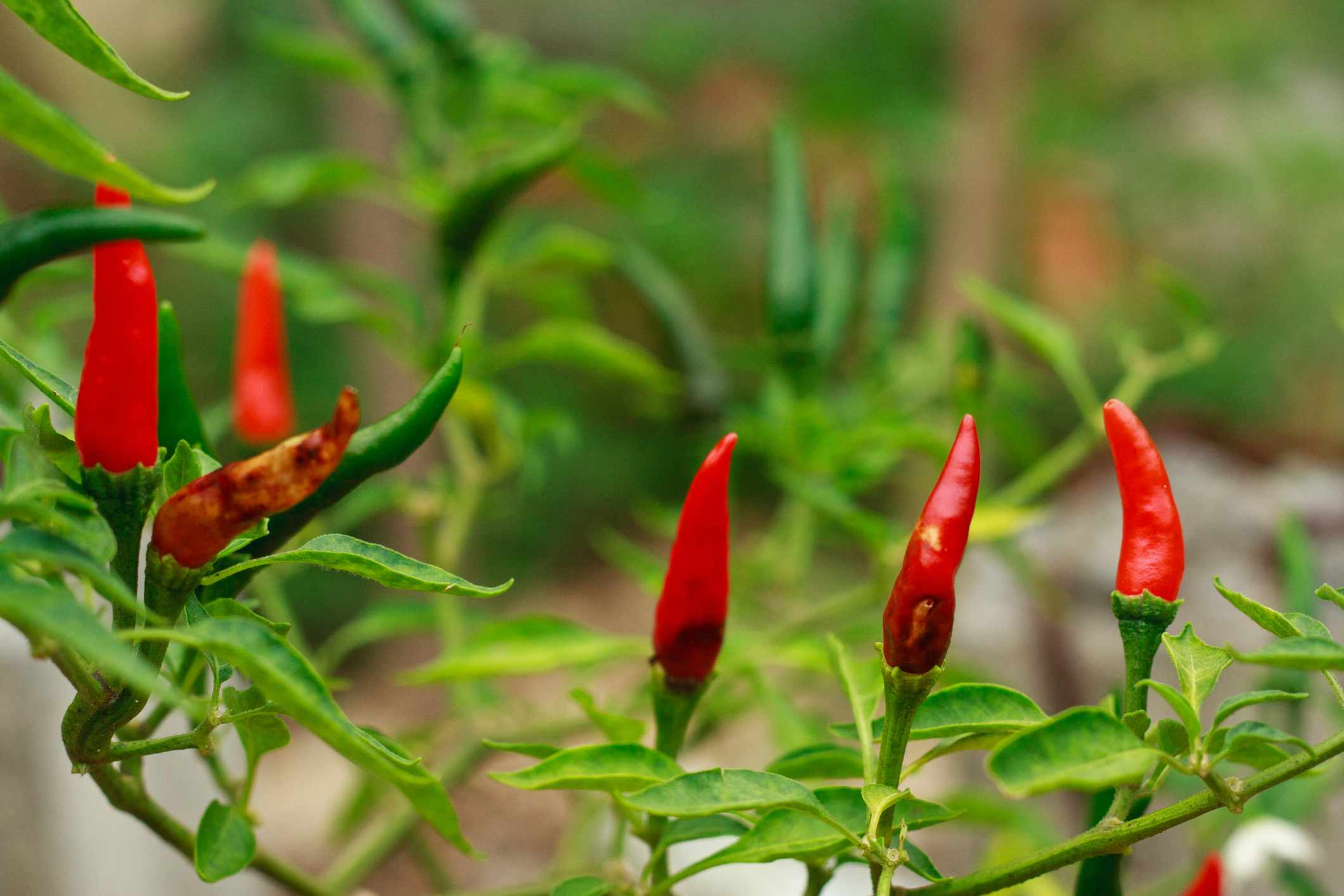 Anthracnose disease in chili peppers
