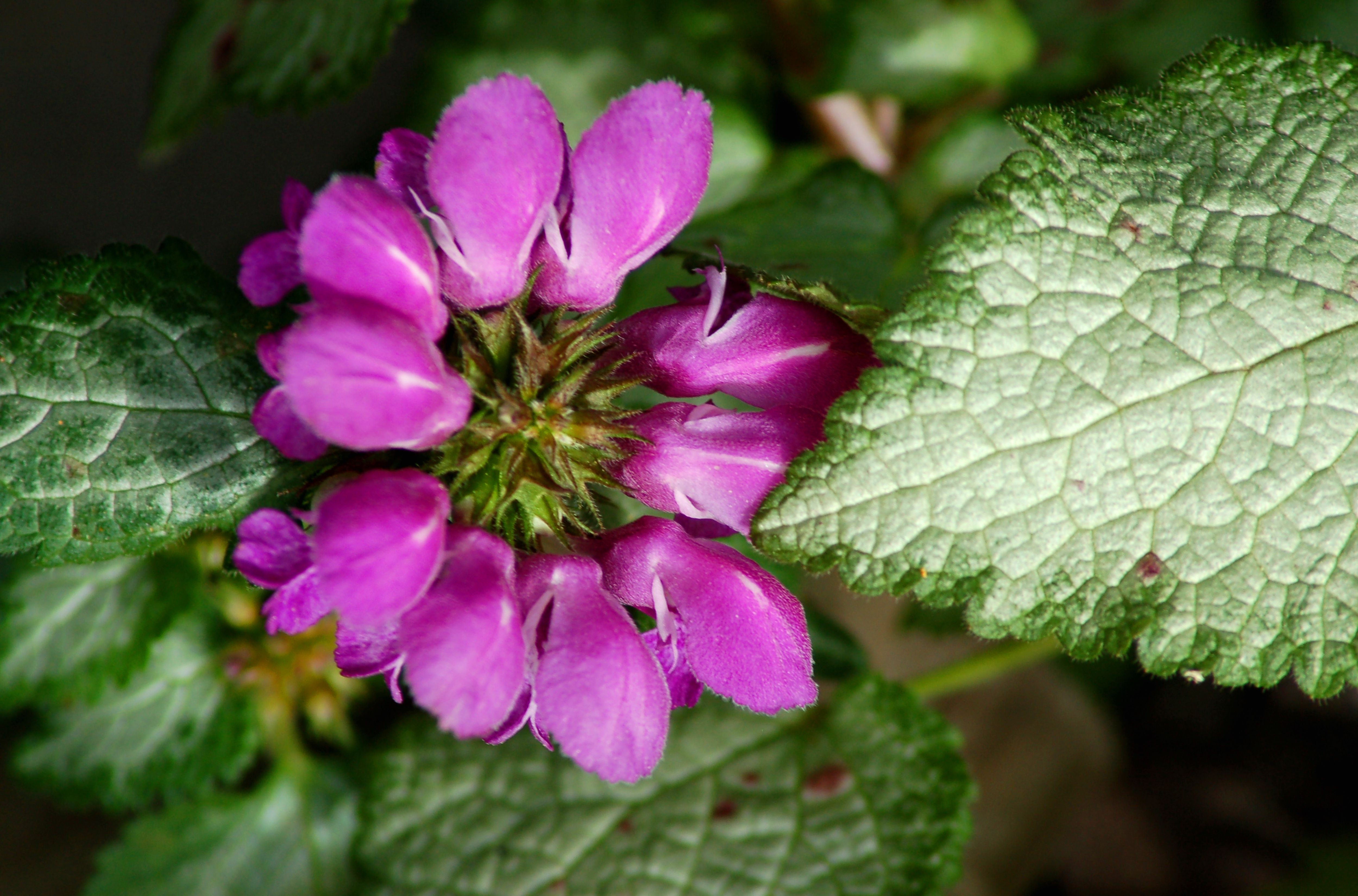 Spotted deadnettle with a pink flower.