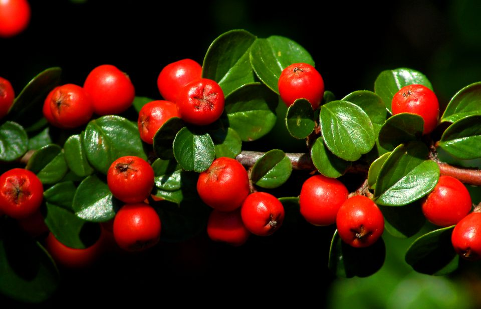 Cotoneaster bush with bright red berries.