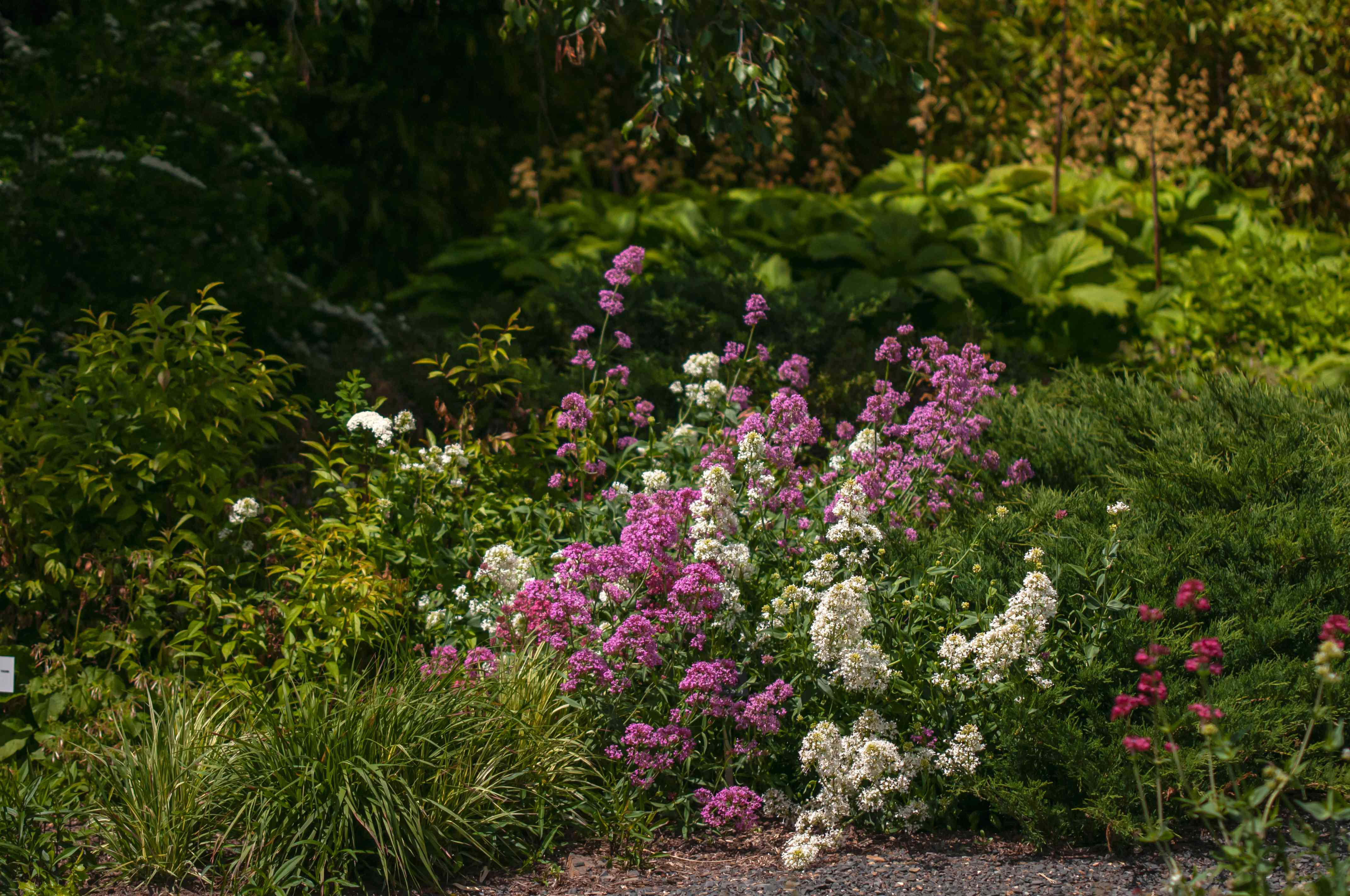 Red valerian in middle of garden with pink and white flowers