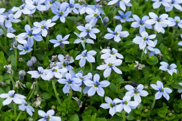 Blue star creeper plant with light blue star-shaped flowers