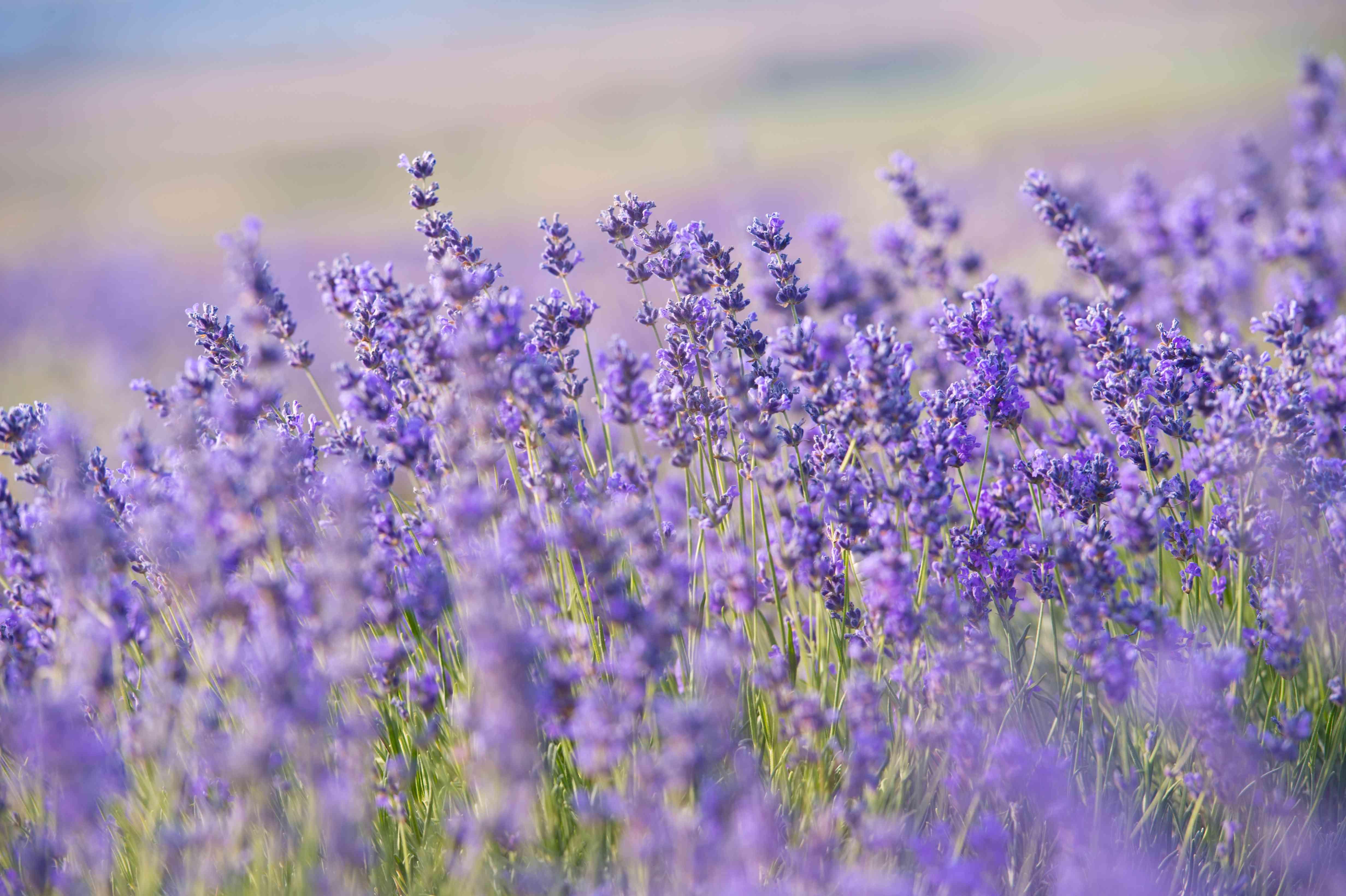 Flores de lavanda - Puesta de sol sobre un campo de lavanda púrpura de verano