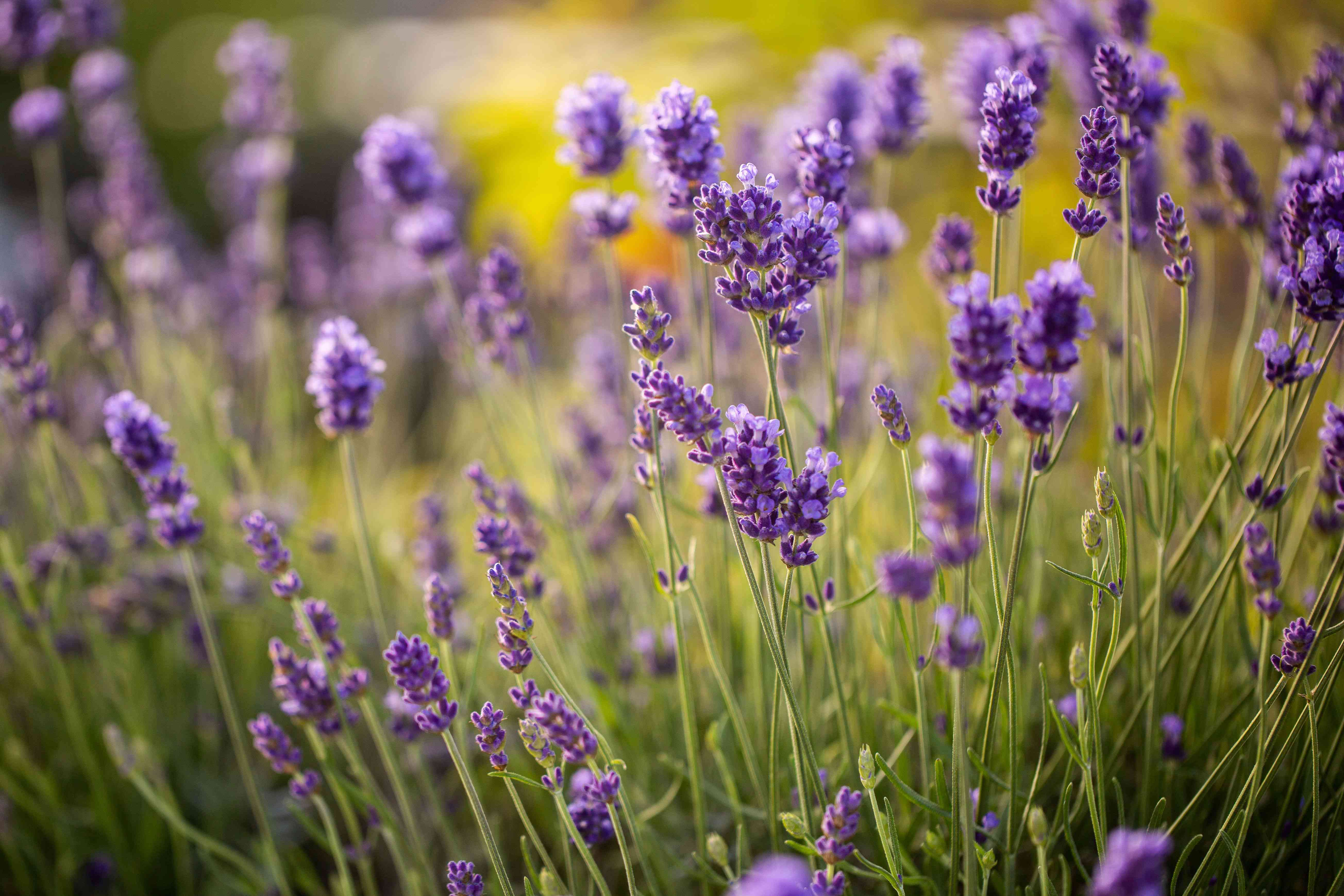 Lavender flowers with small purple petals on thin stems in garden