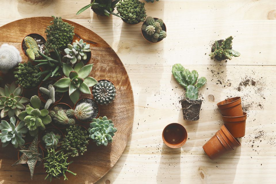 Overhead shot of a tray of cacti/succulents and a cactus being repotted.