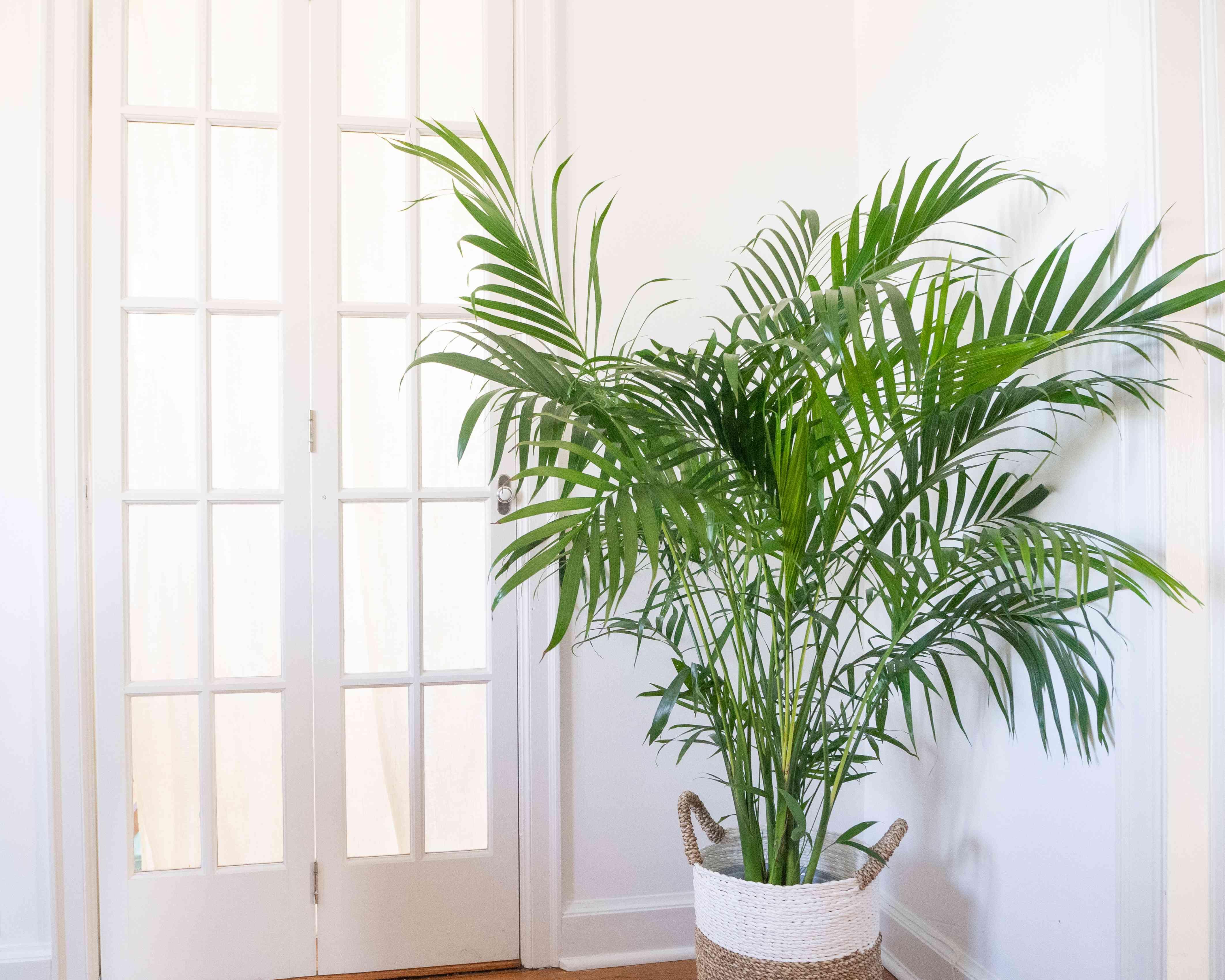 an areca palm by a window