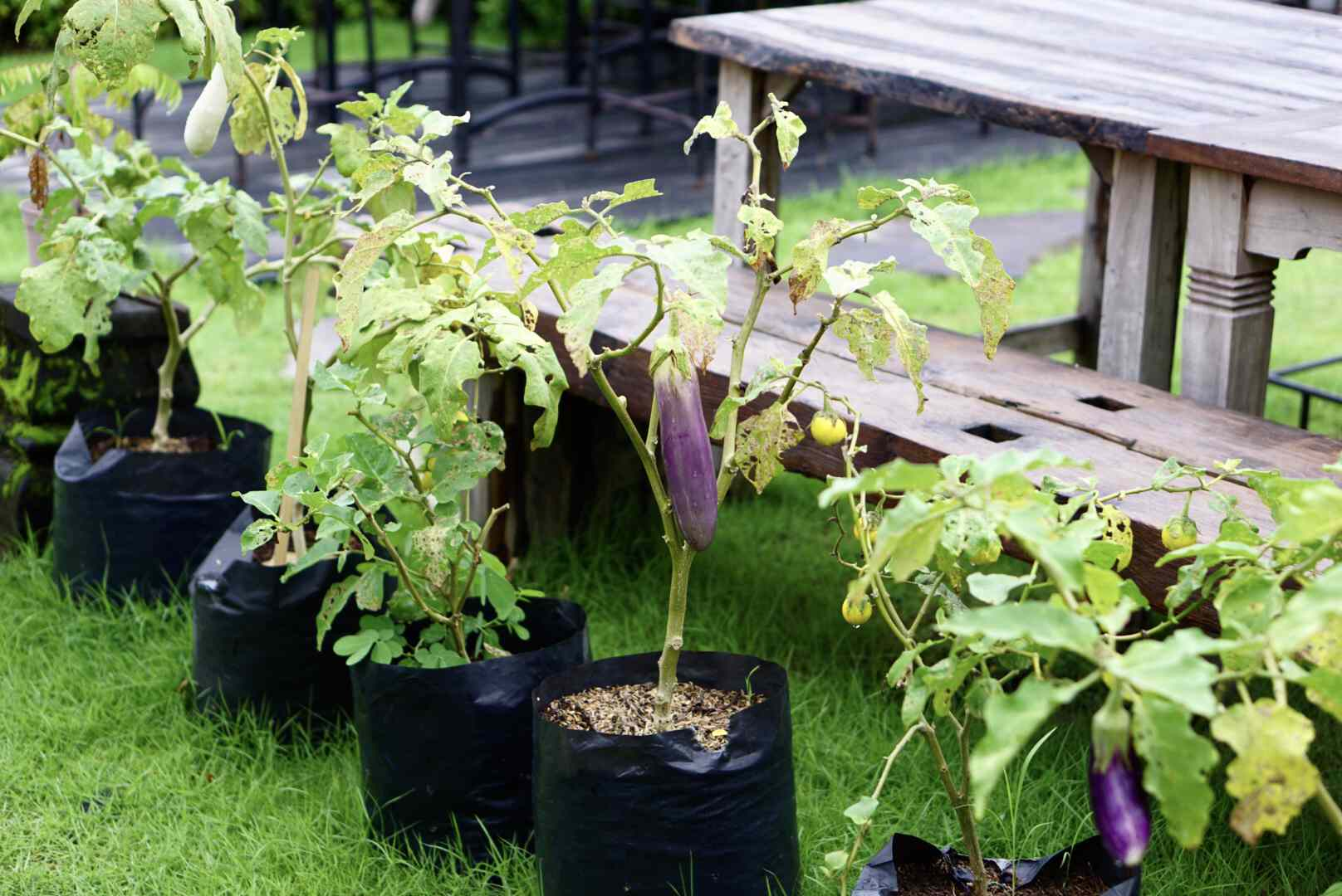 Eggplant tree growing in black container with small purple eggplant hanging