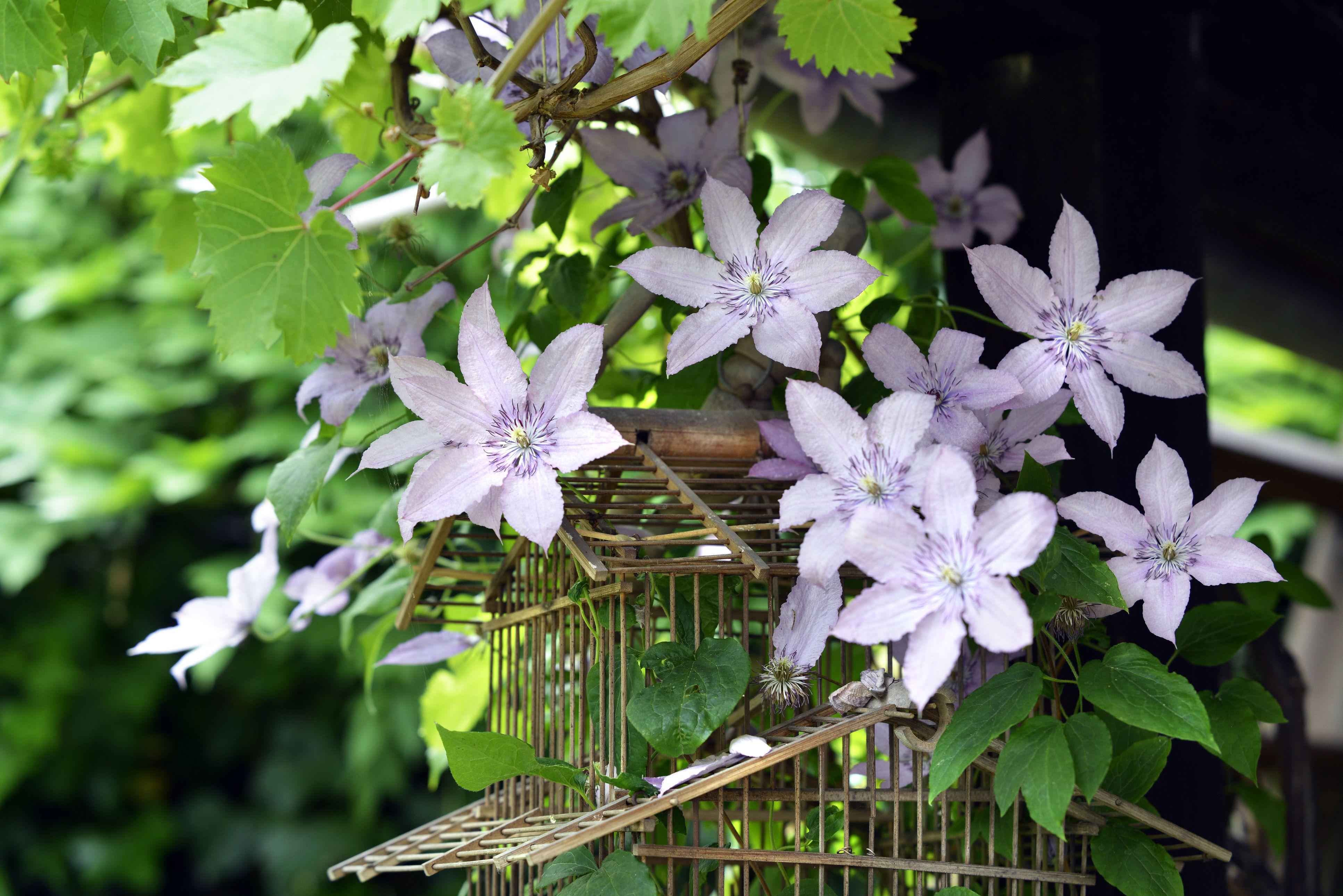Lavender Clematis Vine