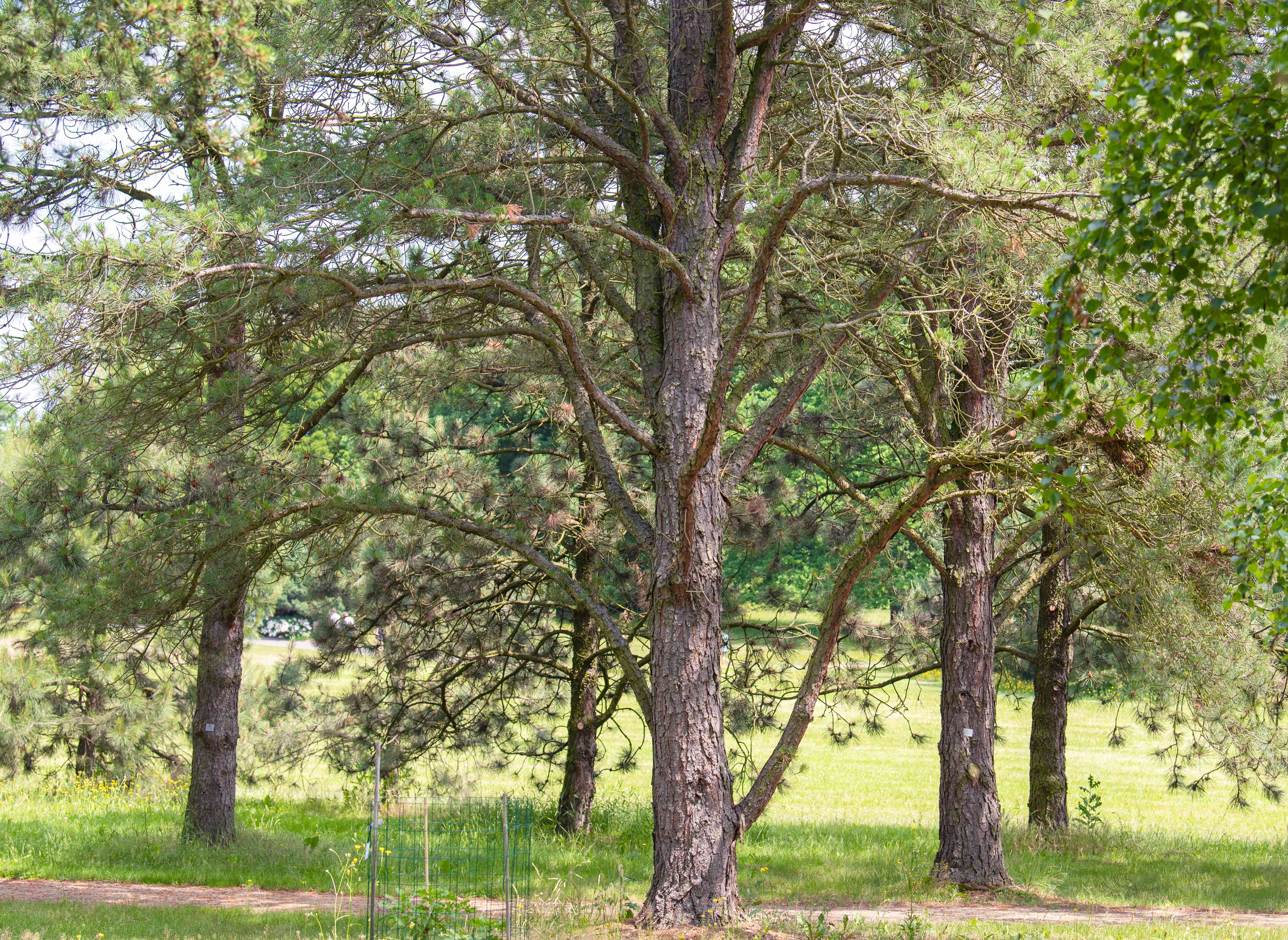 Pitch pine tree with bare twisting branches in middle of forested area
