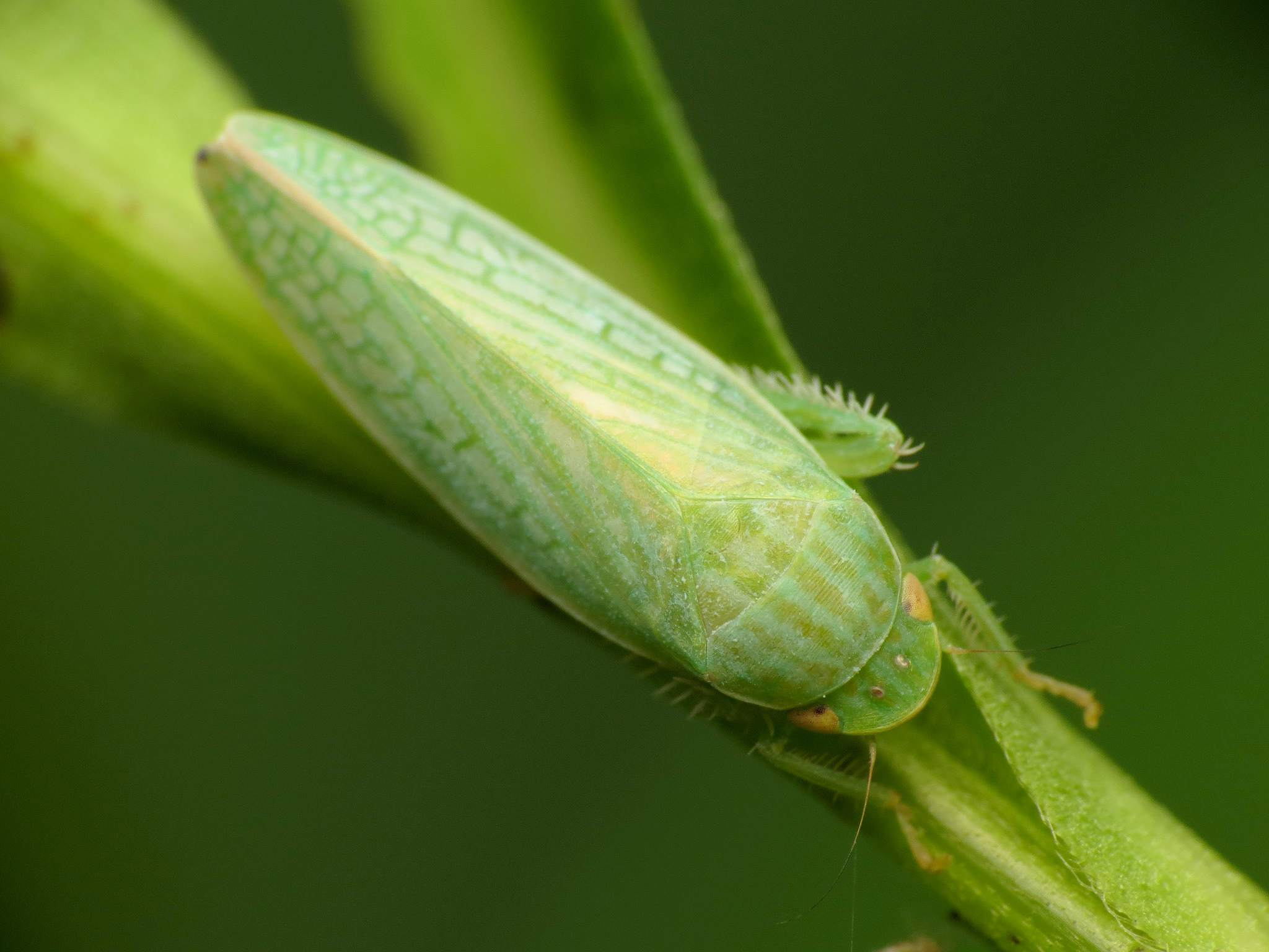 Green Leafhopper. (Cicadellidae) en una planta