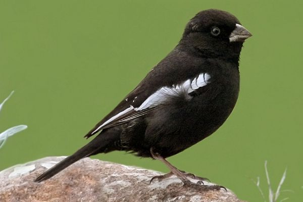 State Bird of Colorado - Lark Bunting