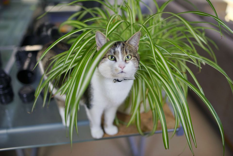 Spider Plant, Airplane Plant