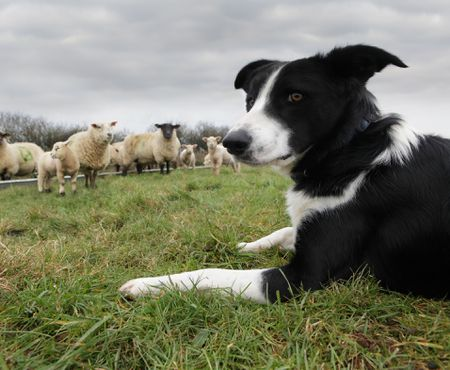 Choosing a Livestock Guardian Dog Breed
