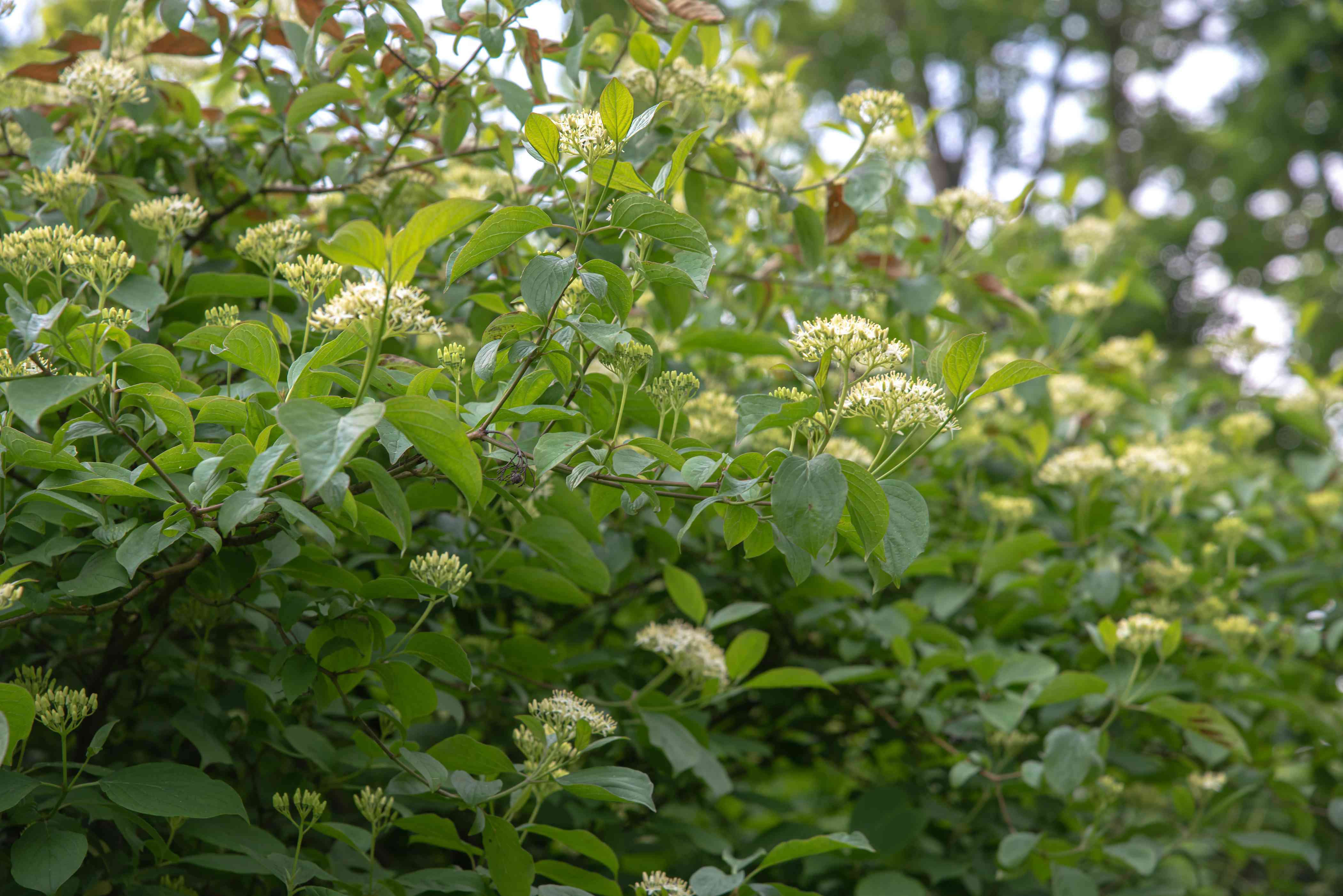 Gray dogwood native shrub with extending branches and small white flower clusters