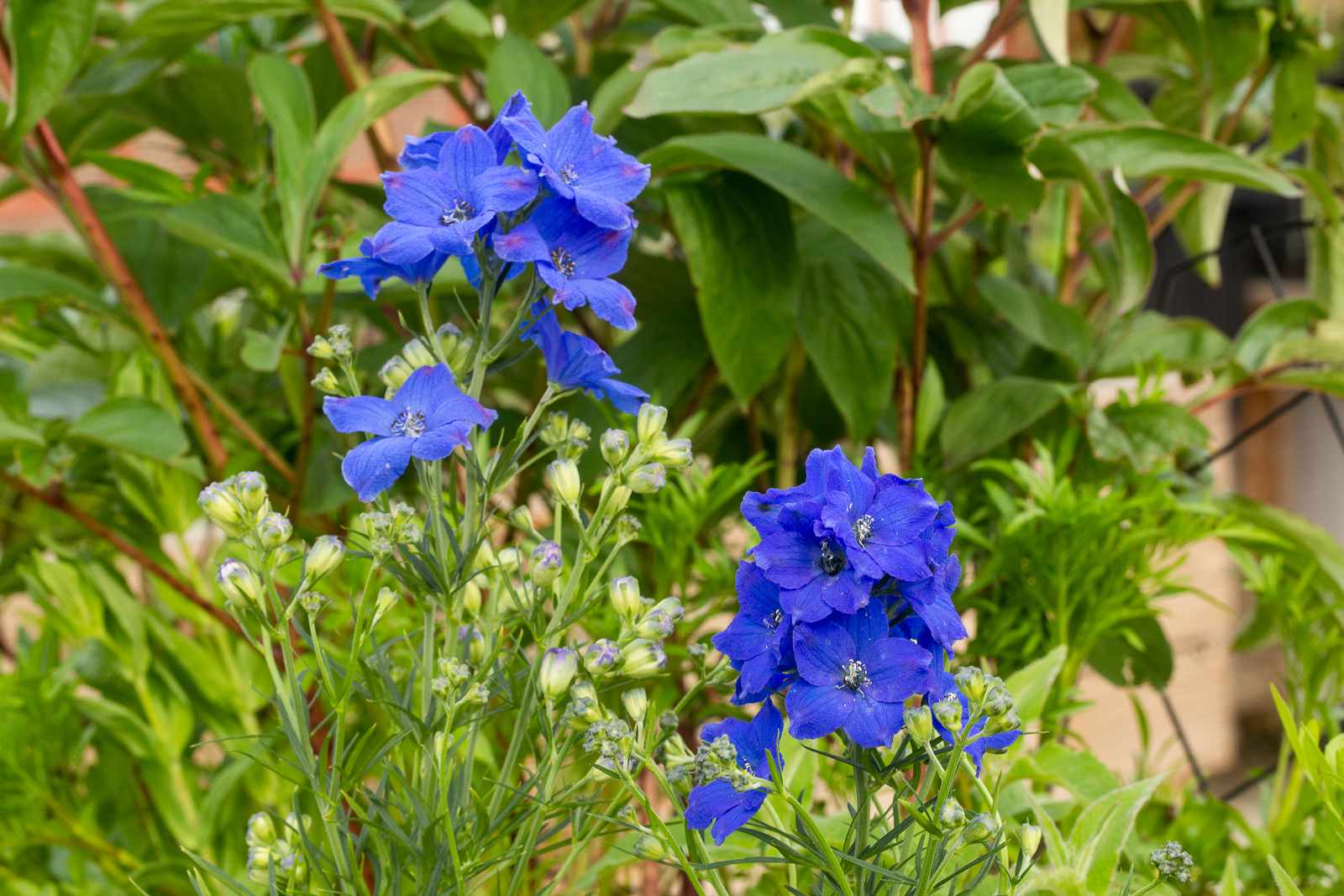 'Black Knight' delphinium plant with blue-purple flowers on tall stems surrounded by buds