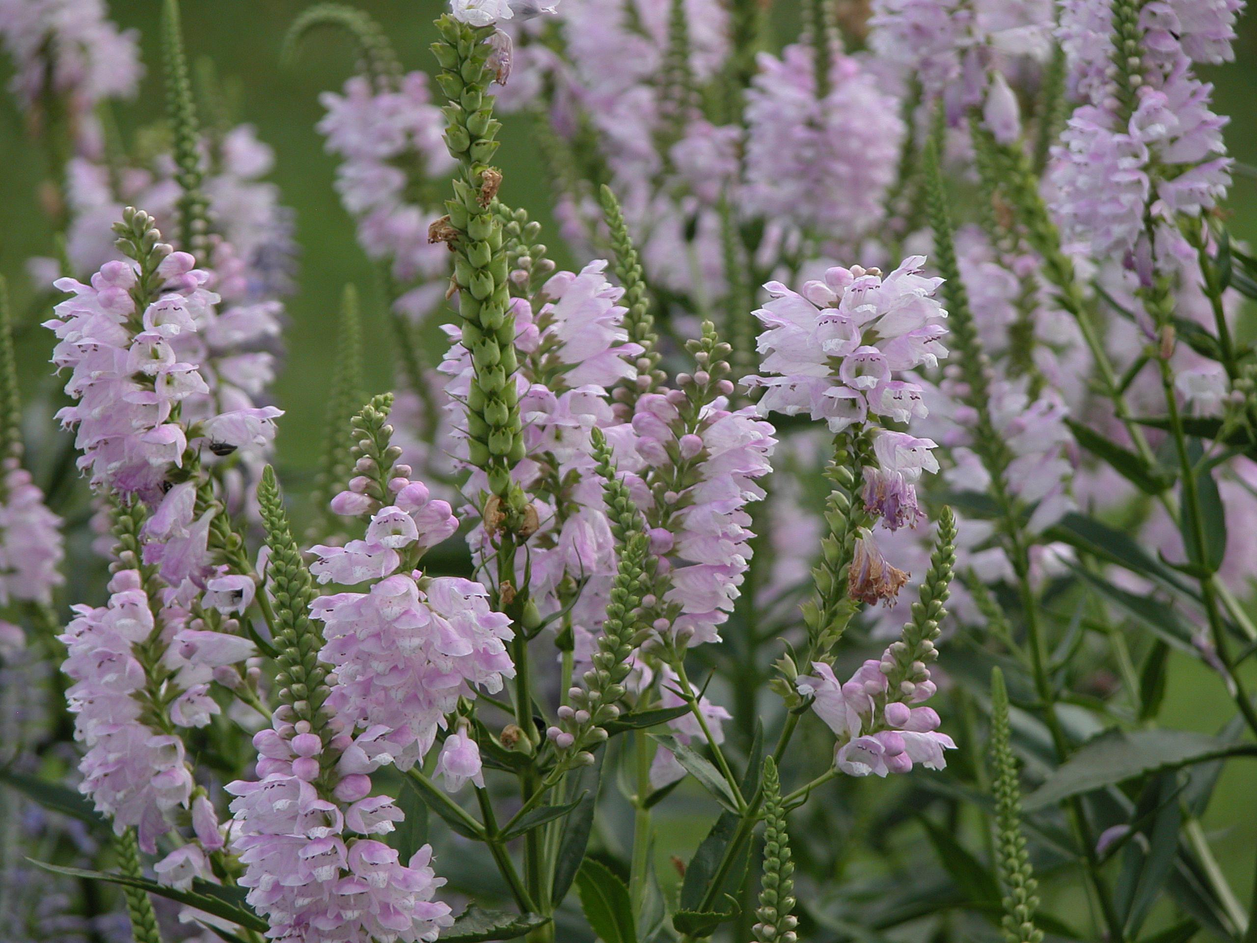 Growing Obedient Plant Or False Dragonhead