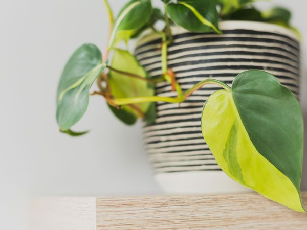 Close up shot of a philodendron Brasil leaf with the plant in a striped pot on a wood shelf.