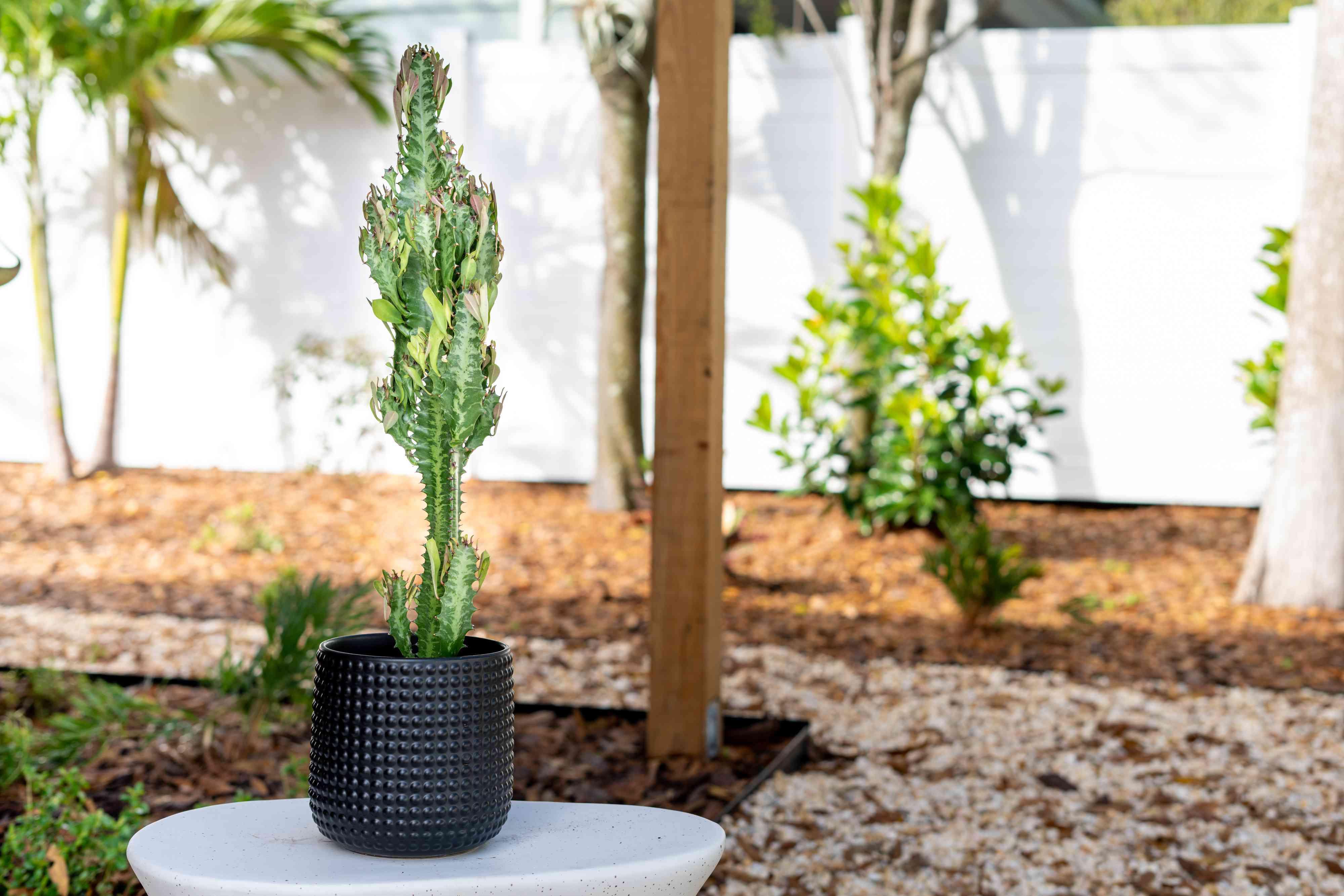 African milk tree succulent in black pot in outdoor setting