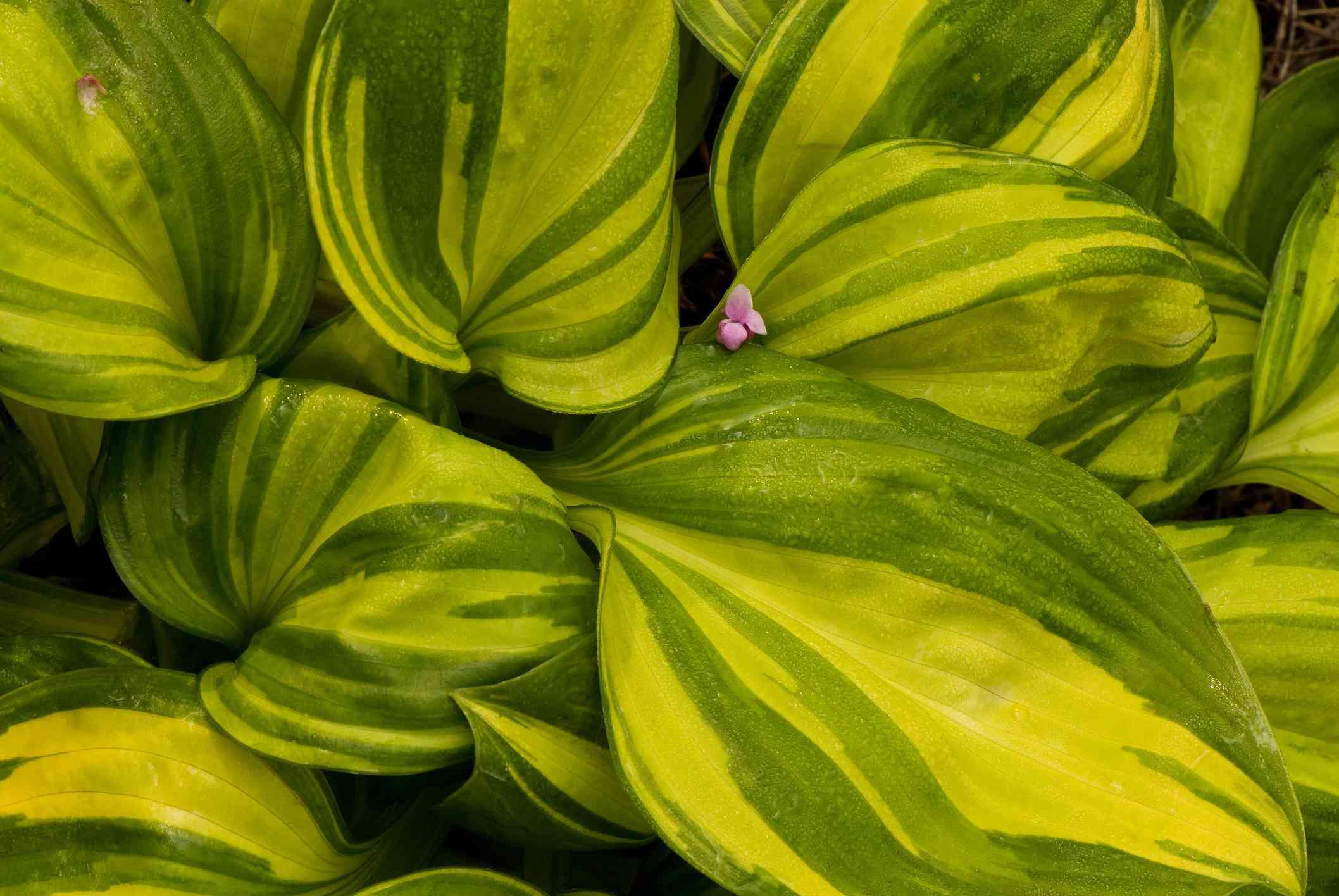 Hosta 'Rainbows End' foliage close up