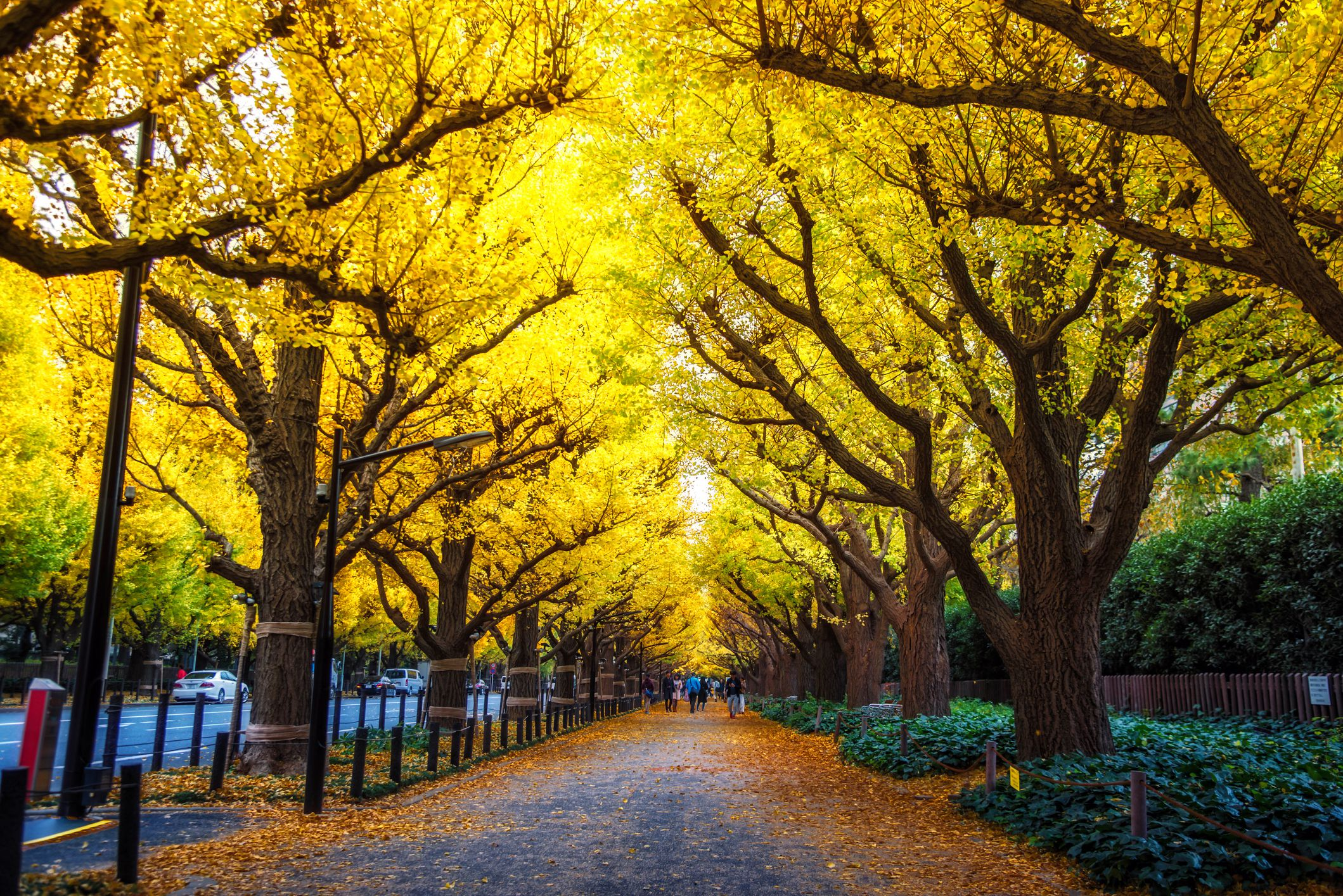 walkway lined with yellow gingko biloba trees