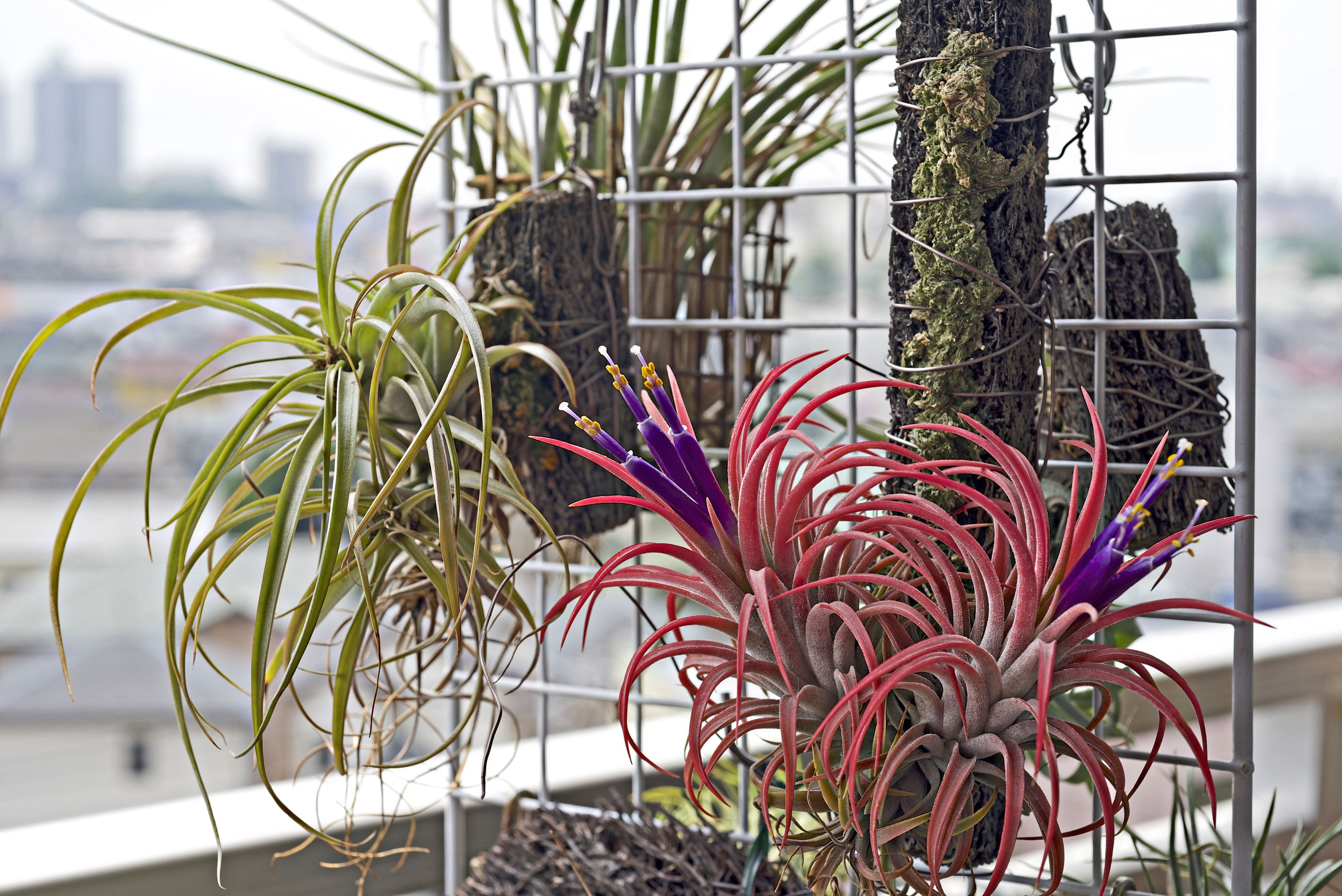 'Maxima' air plant with green and red leaves and purple blooms