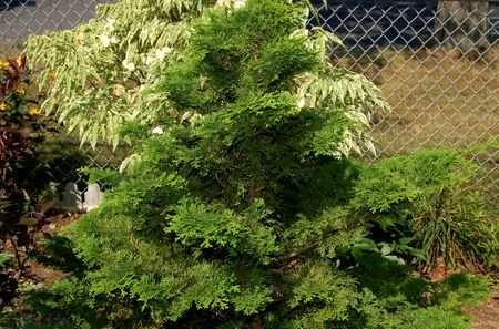hinoki cypress trees growing tips for dwarf types