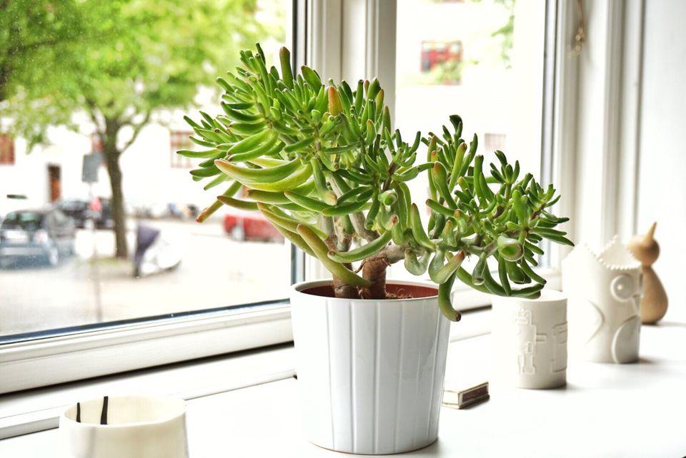 Jade plant (Crassula ovata) in windowsill