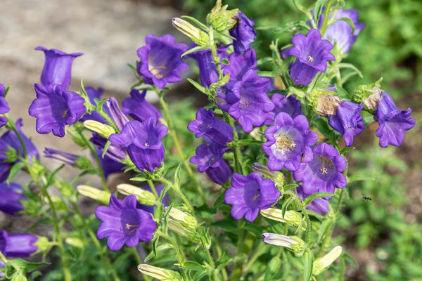 Canterbury bells plant with purple bell-shaped flowers and buds on bright green stems