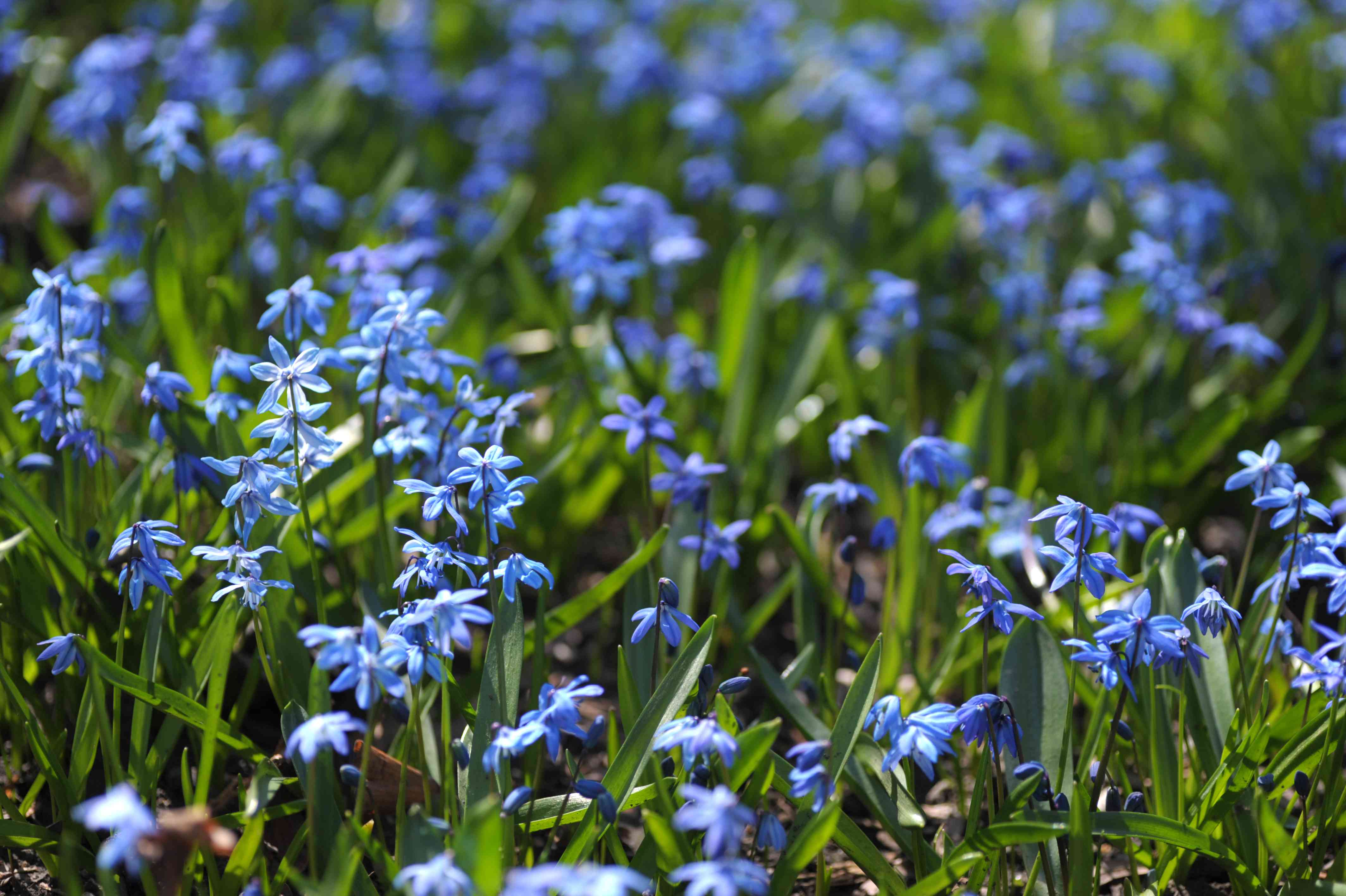 Siberian squill with blue flowers growing from ground