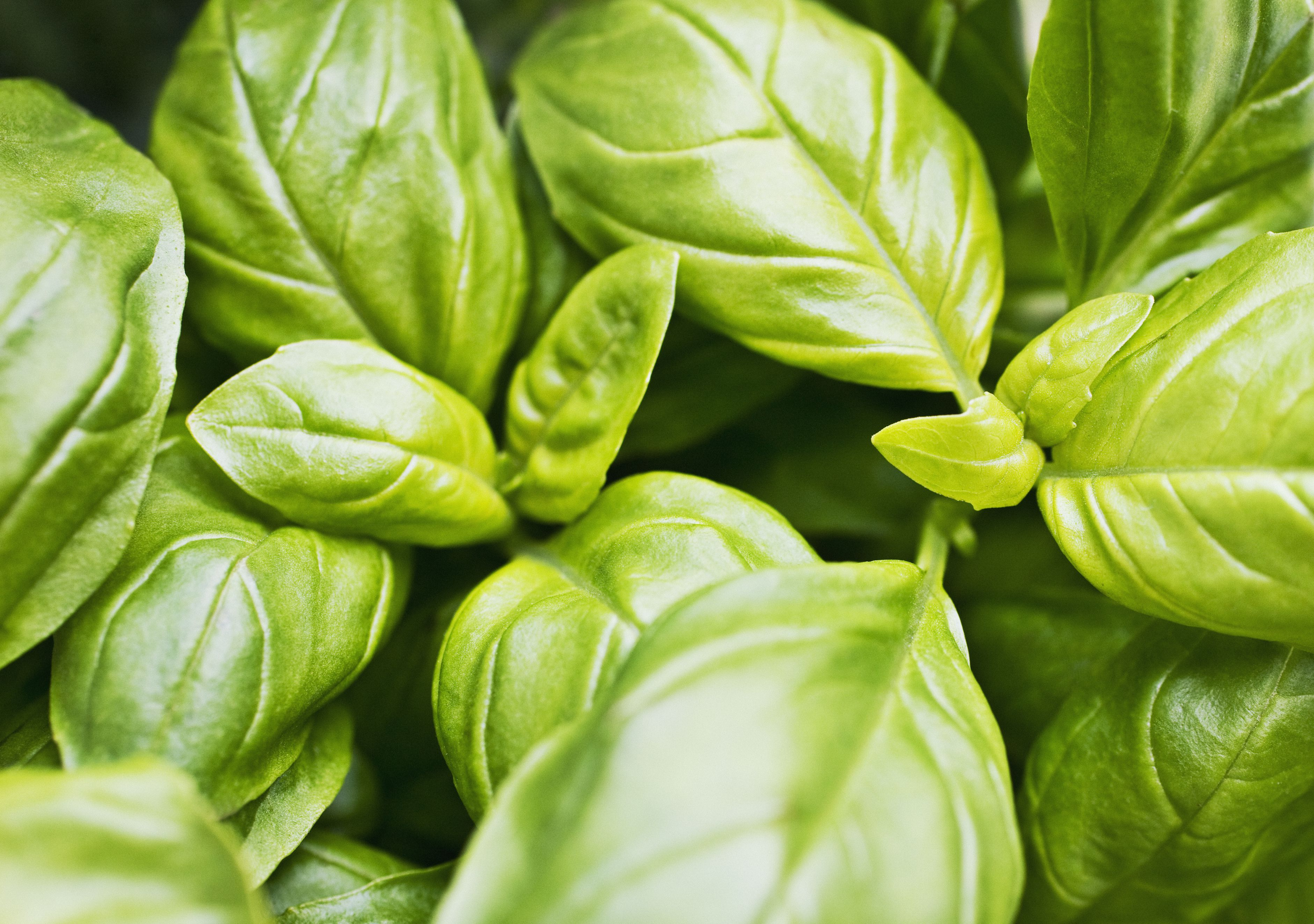 Close up of basil leaves
