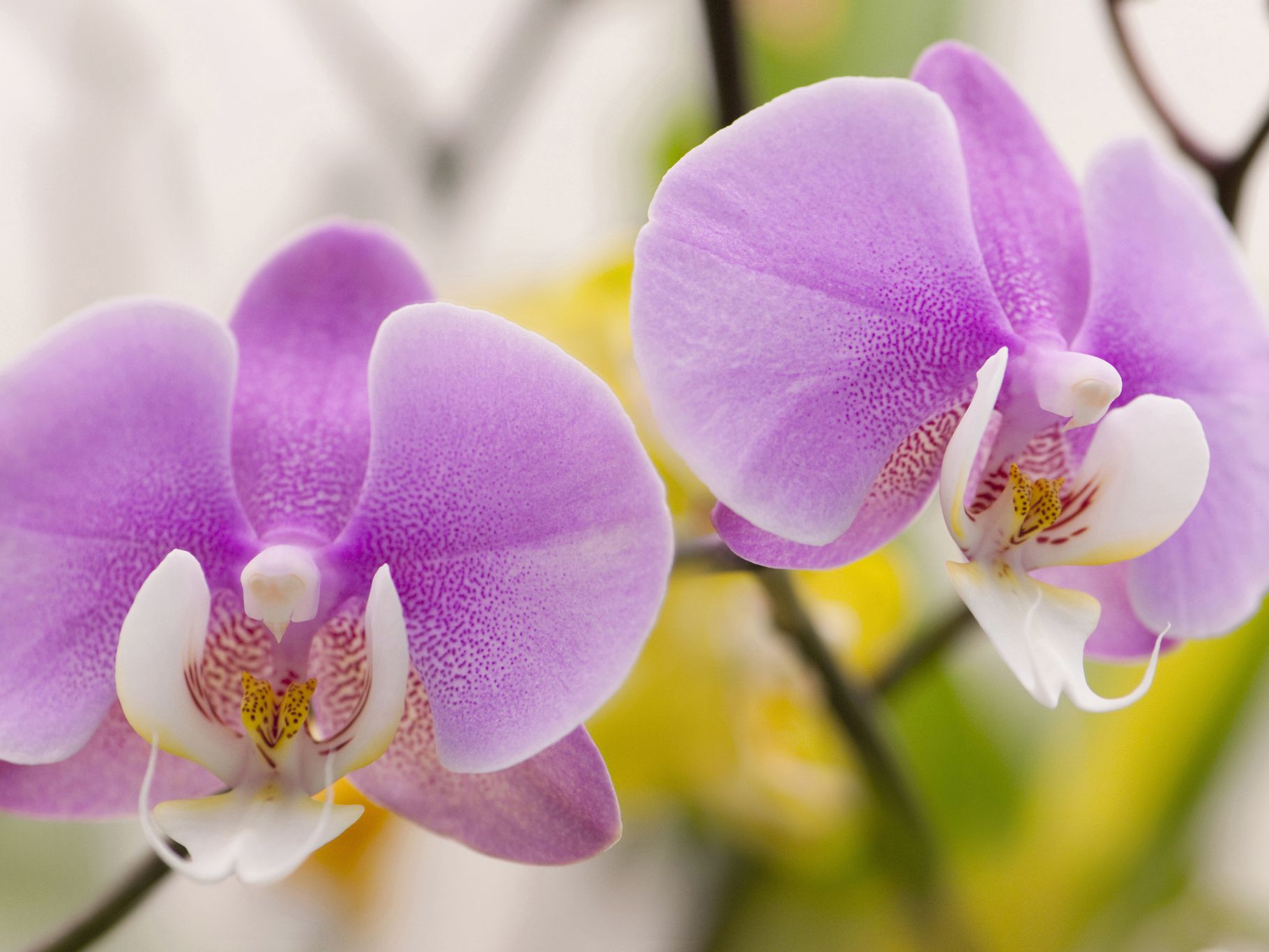 How To Grow And Care For Phalaenopsis Orchids