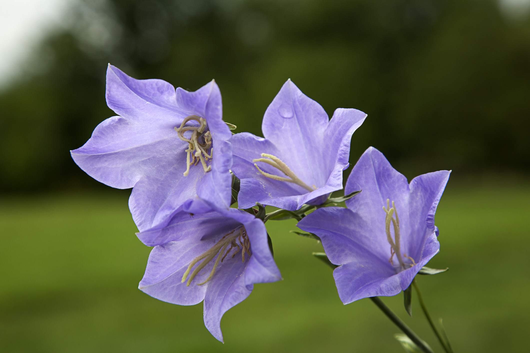 Peachleaf Bellflower (Campanula persicifolia)