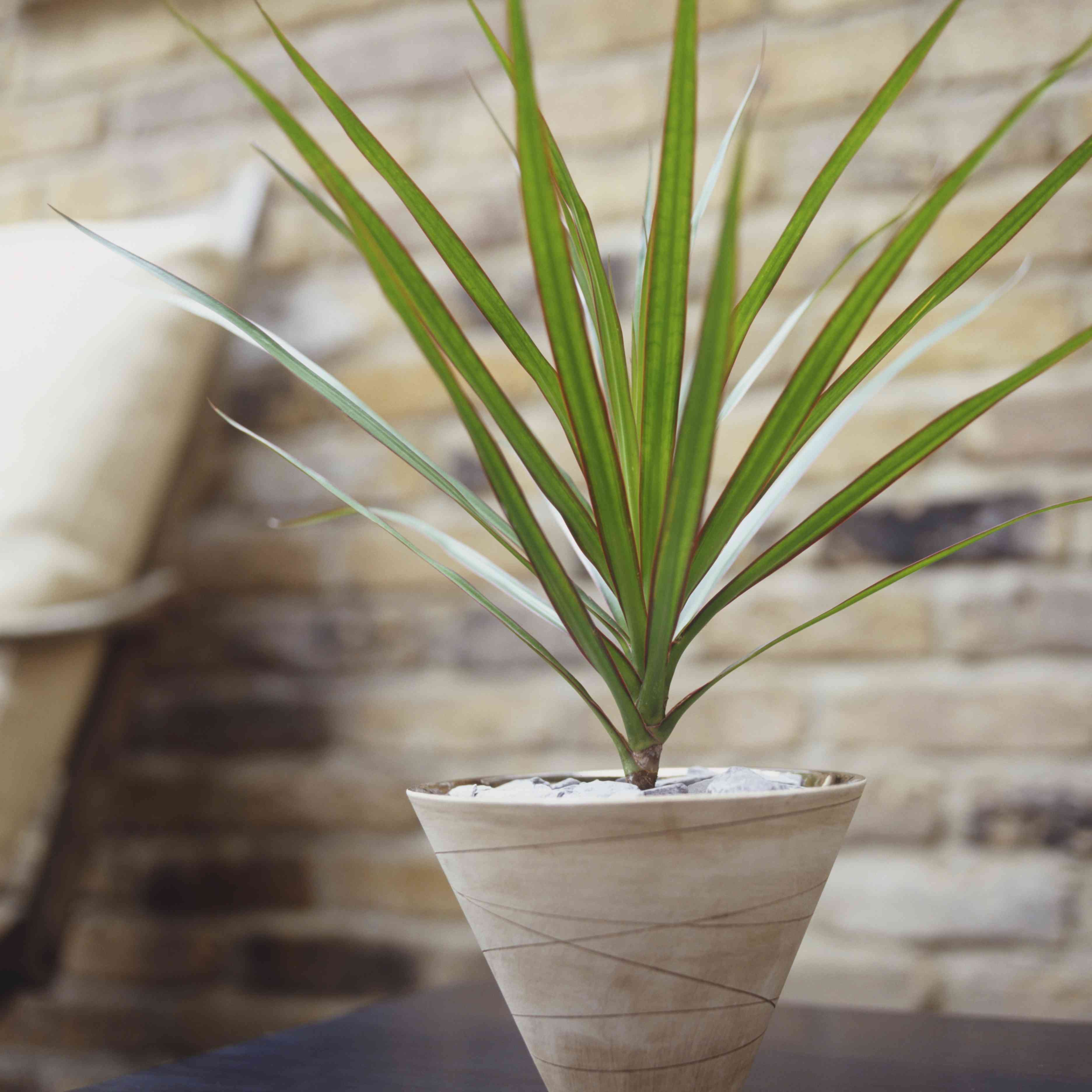 Primer plano de una planta dracaena en una maceta