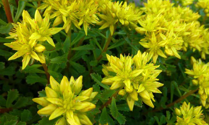 Russian stonecrop with green leaves and yellow flowers