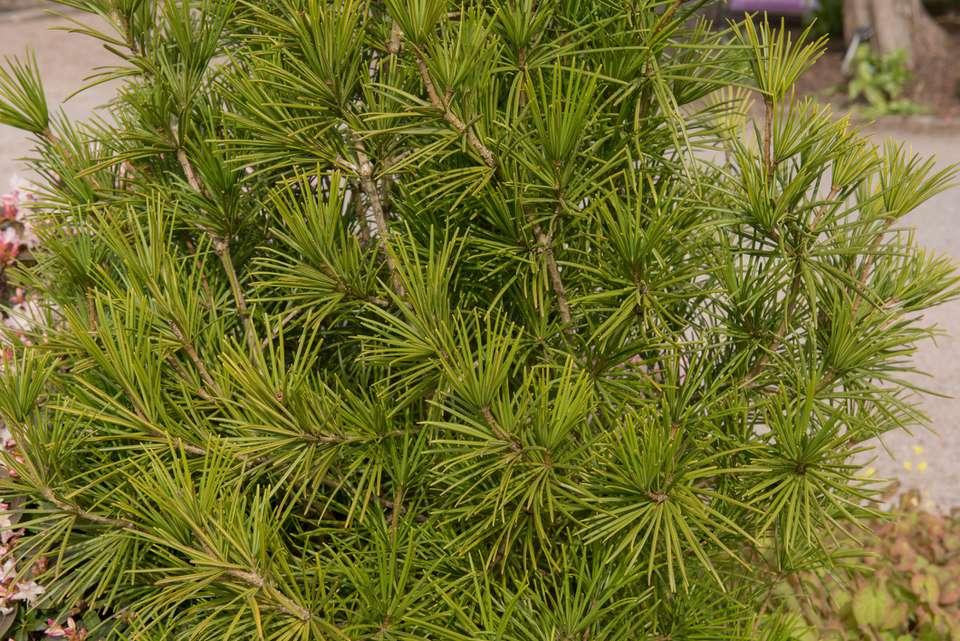 Japanese Umbrella Pine, Umbrella Pine, Parasol Fir or Parasol Pine Evergreen Conifer Tree (Sophora or Sciadopitys verticillata) in a Park