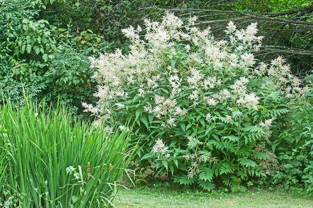 Growing giant fleece flower persicaria polymorpha mightylinksfo