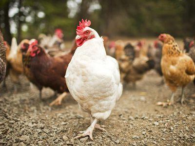 Deep Litter Method to Keep Your Chicken Coop Clean