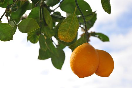 Enjoy The Harvest Of This Sweet Citrus Fruit Tree