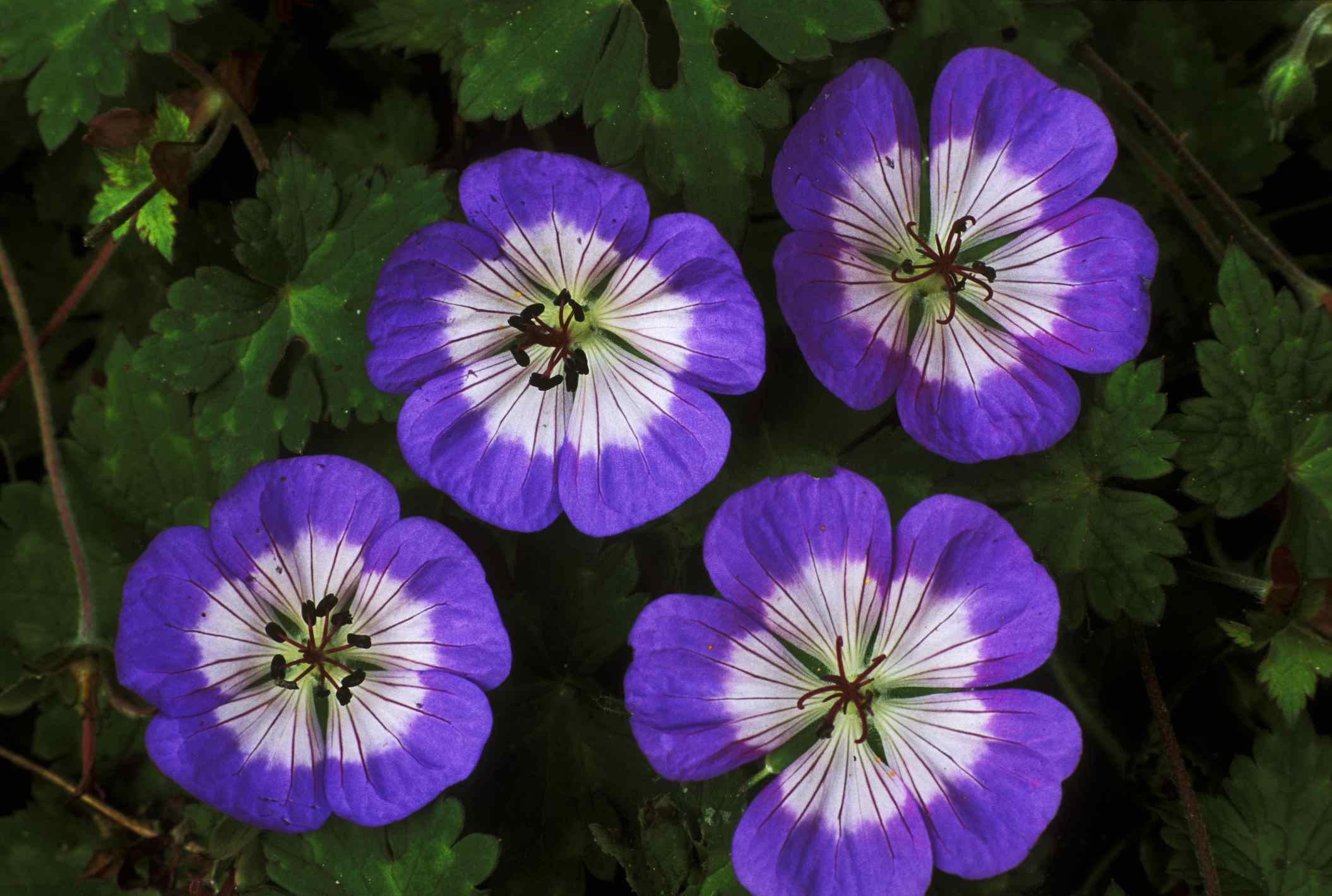 'Buxton Blue' geranium with bicolor petals