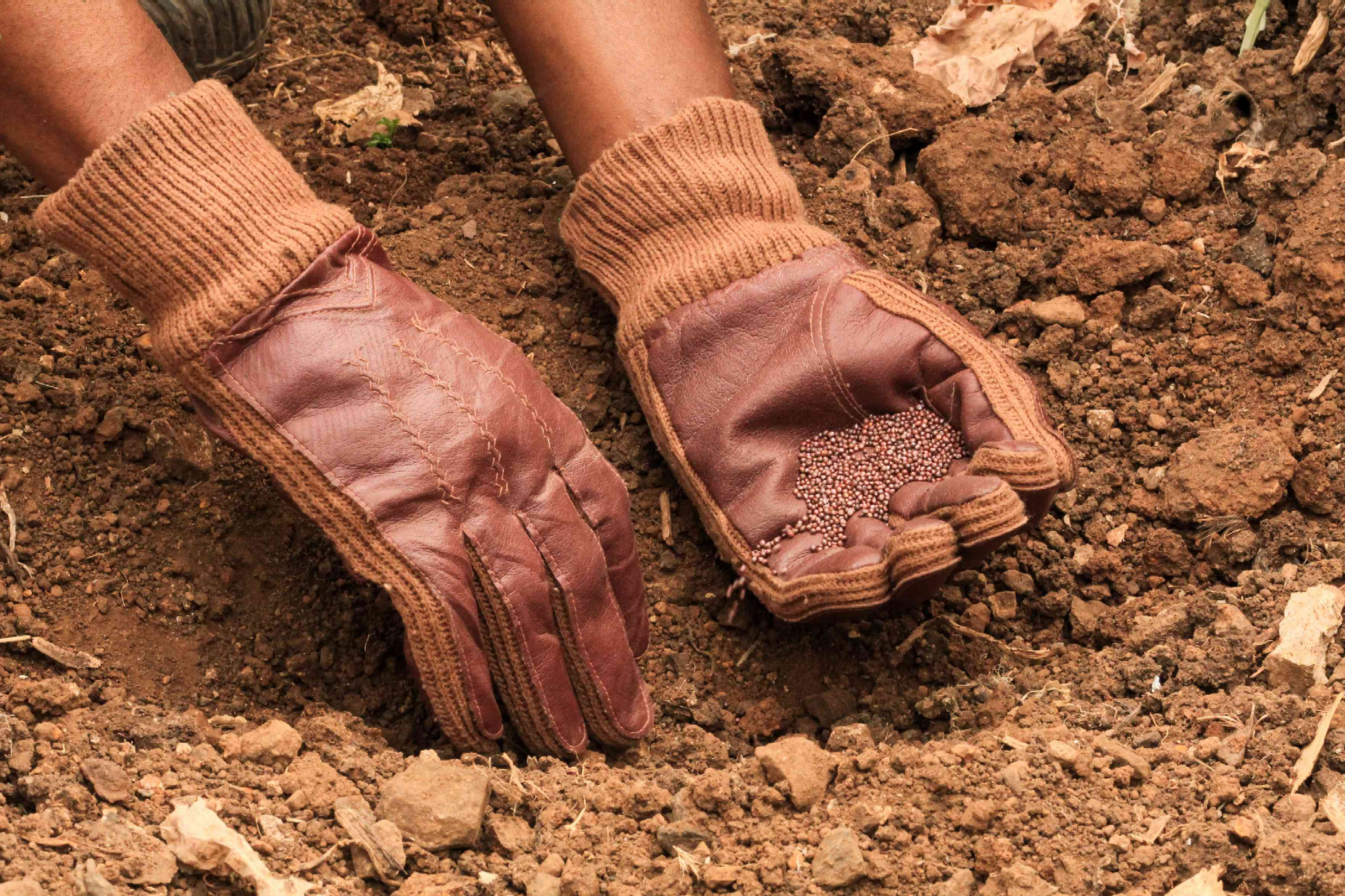 Vegetable seeds placed in soil for succession planting
