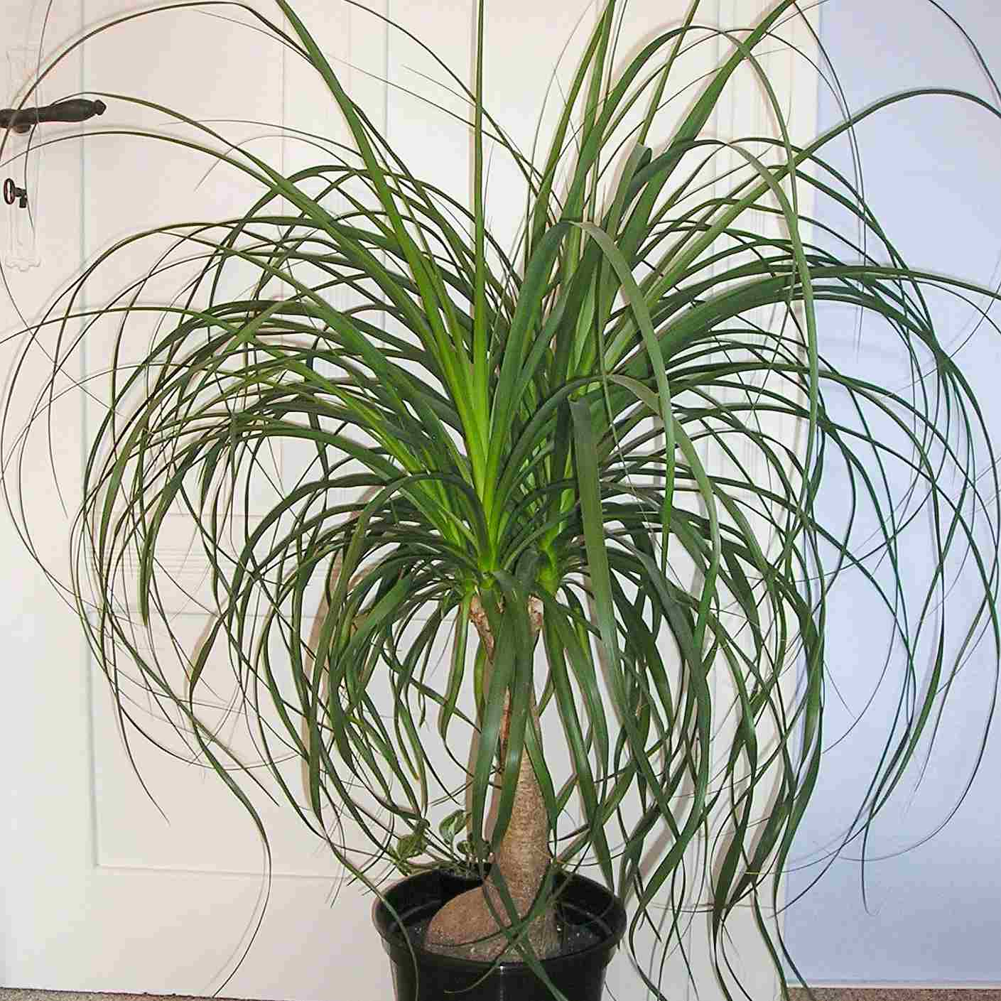 5184571233_c31d2b2ac9_o-5bc3e94a46e0fb002692b97b Palm Tree Indoor House Plant Types on indoor house plant care, tall indoor palm trees types, indoor miniature palm tree, tropical palm trees types, like palm plants types, indoor bonsai tree types, dracaena house plant types, indoor rubber tree plant, indoor banana tree plant care, indoor dragon tree house plant, indoor plant pots, indoor house plant names, bamboo palm trees types, common house plant types, indoor palm tree problems, indoor dragon tree plants care, indoor palm tree identification guide, indoor tree areca palm, indoor house trees identification, fan palm trees types,