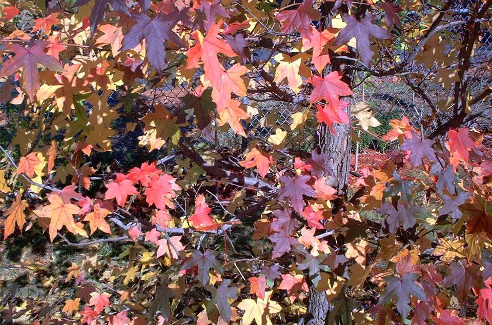 American sweetgum tree with its fall foliage.