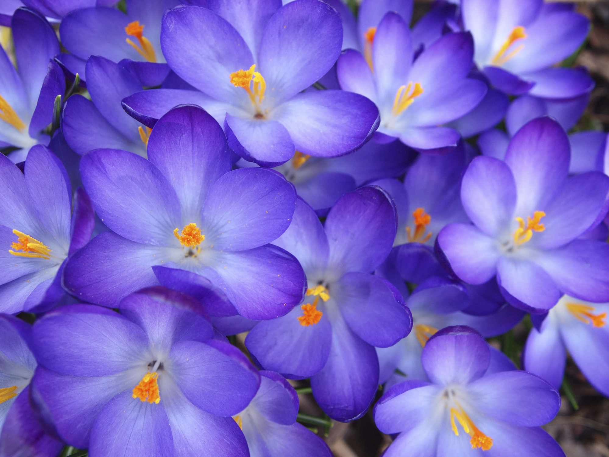 Saffron crocus with purple petals